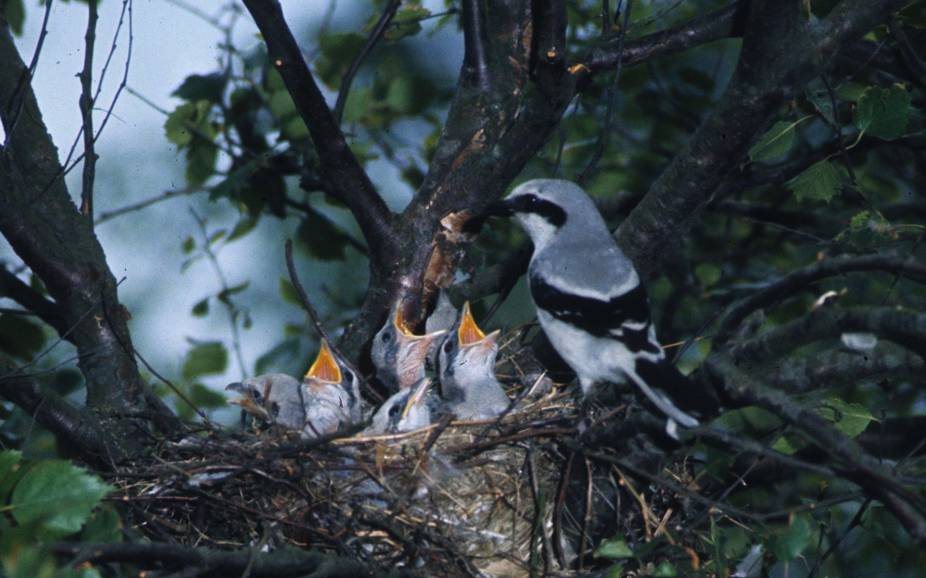 Brutpaar des Großen Würgers am Nest, die Jungen betteln um Nahrung.