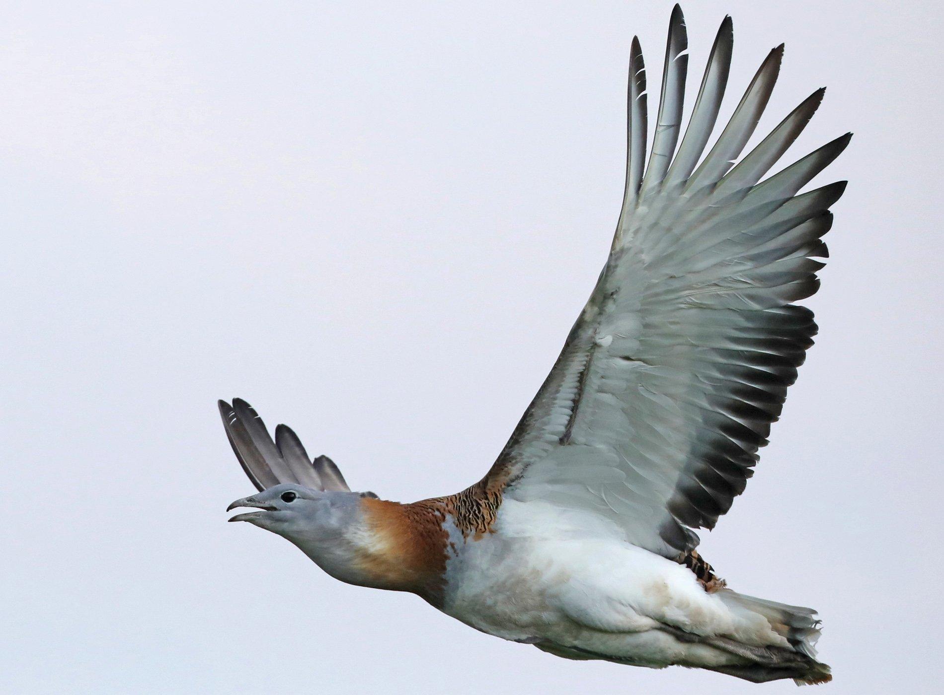 Eine sehr schwere männliche Großtrappe fliegt träge von rechts nach links
