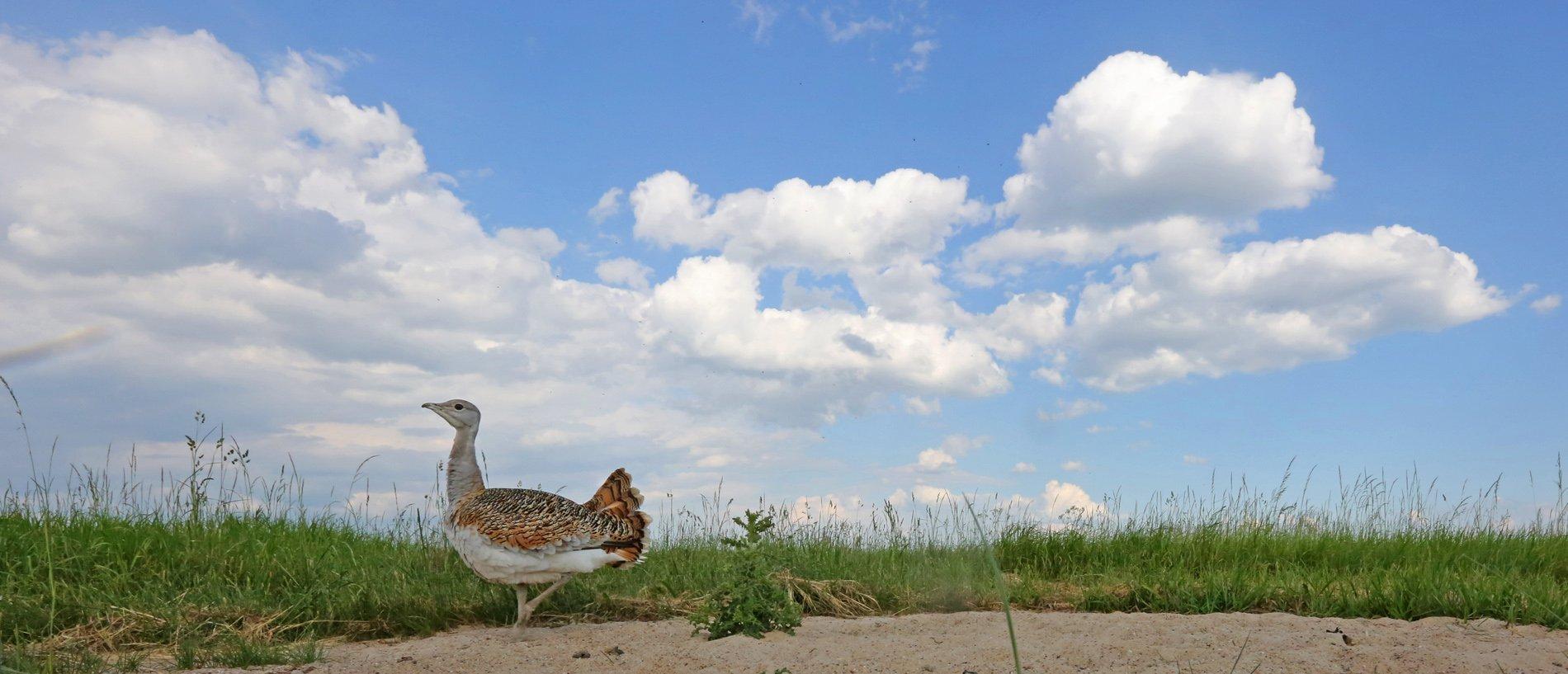 Eine weibliche Großtrappe bei einem Staubbad