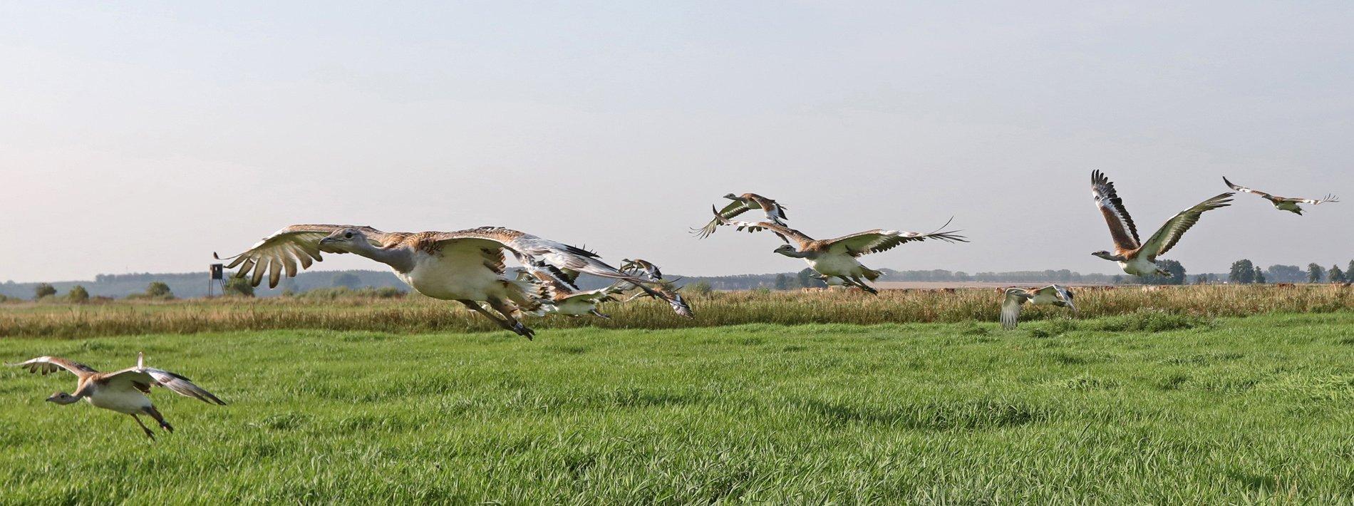 Eine Gruppe junger, gerade flugfähiger Großtrappen in einem Naturschutzgebiet fliegt auf den Fotografen zu