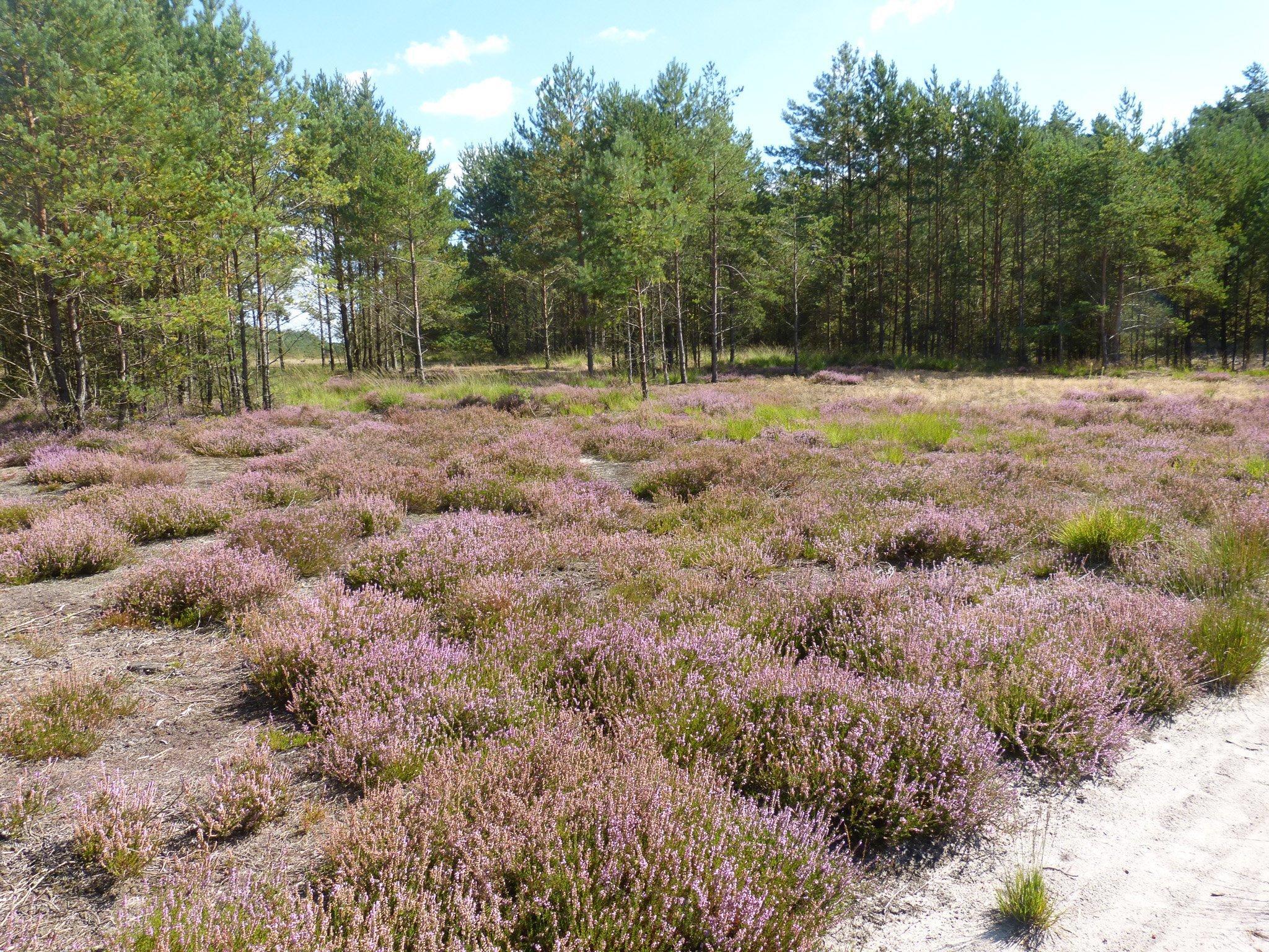 Zu sehen ist eine typische Heidelandschaft mit rosa blühendem Heidekraut.