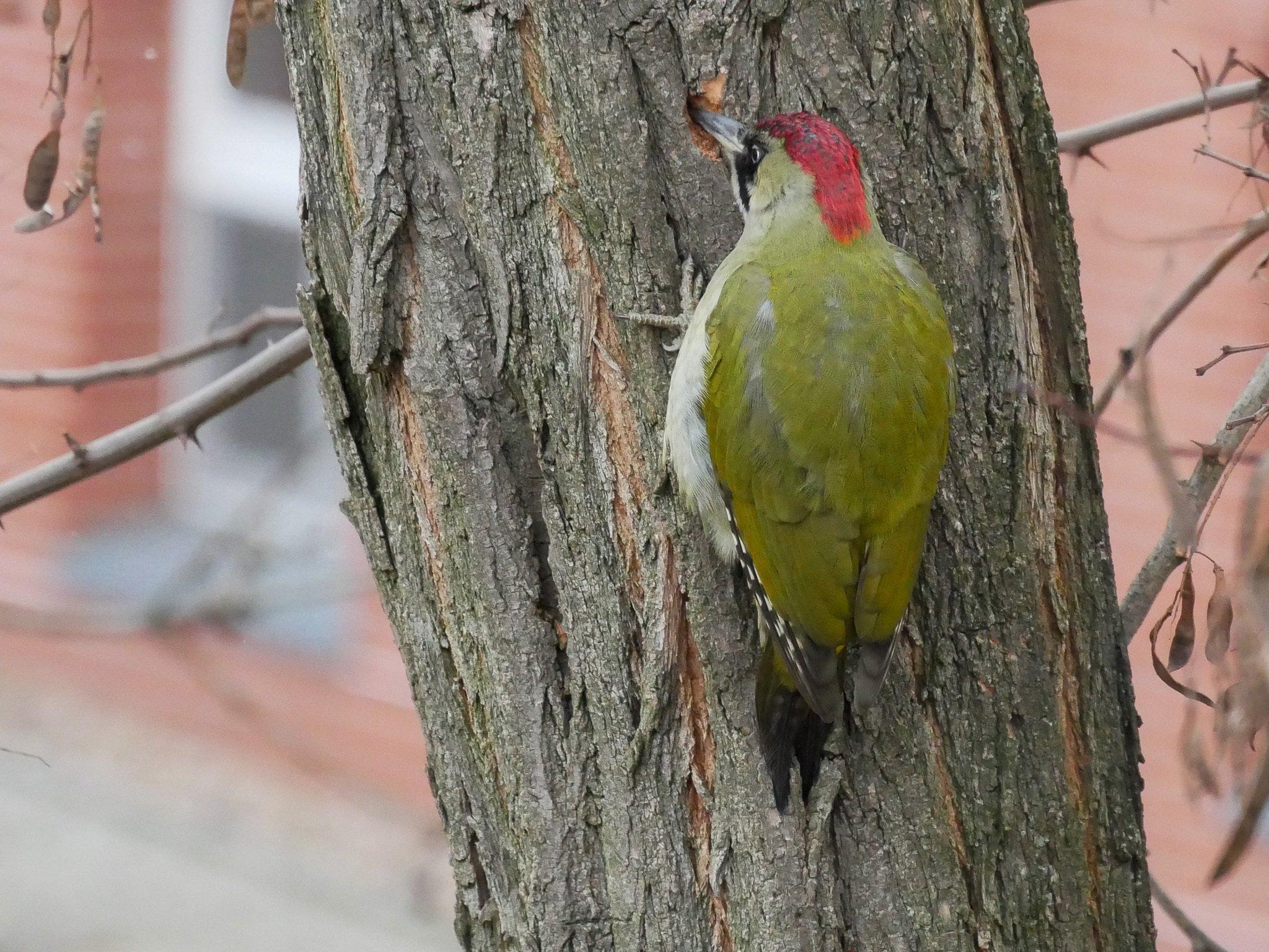 Ein Vogel mit grün-gelbem Rücken und einem breiten roten Streifen auf dem Köpf hat sich an den Stamm eines Baumes geklammert und hämmert ein Loch in die Rinde.