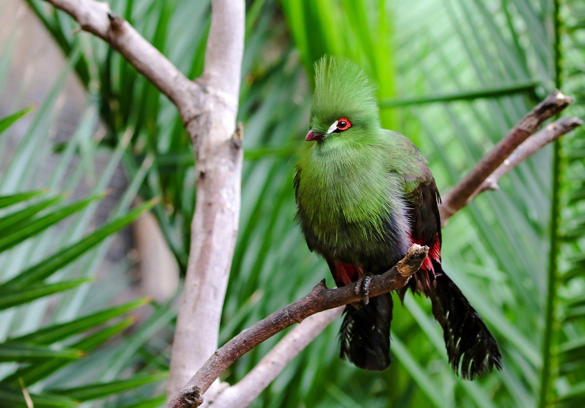 Ein Vogel mit grüner Brust und hoher grüner Haube, einem leuchtend roten Rand um die Augen und einem weißen Tränenfleck, mit schwarzen Flügeln und Schwanzfedern, sitzt auf einem Ast.