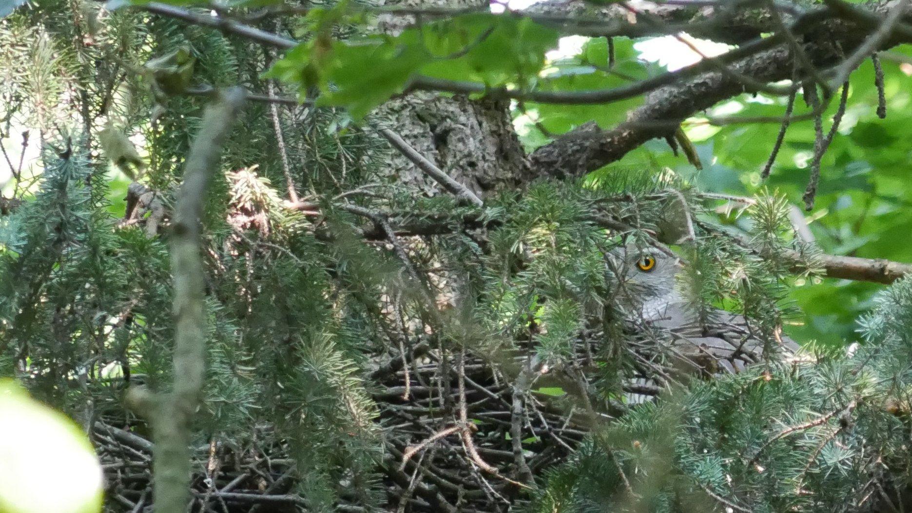Durch die Äste eines Nadelbaumes ist ein oranges Auge eines grauen Vogels zu sehen.