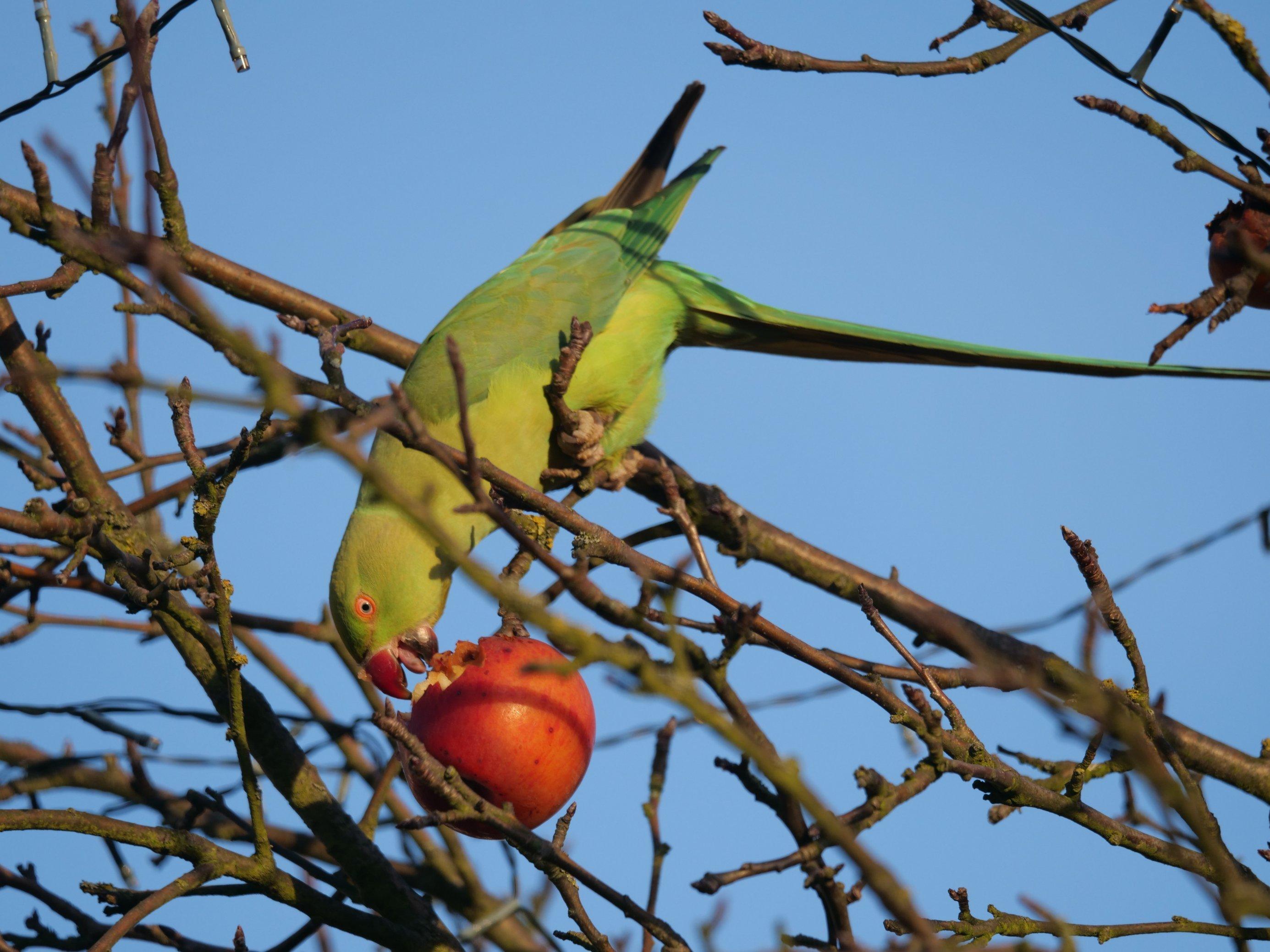 Ein Halsbandsittich sitzt auf dem Baum und knabbert einen Apfel an.