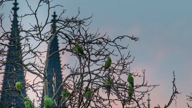 Auf einem Baum sitzt ein Schwarm Halsbandsittiche, im Hintergrund sieht man den Kölner Dom.