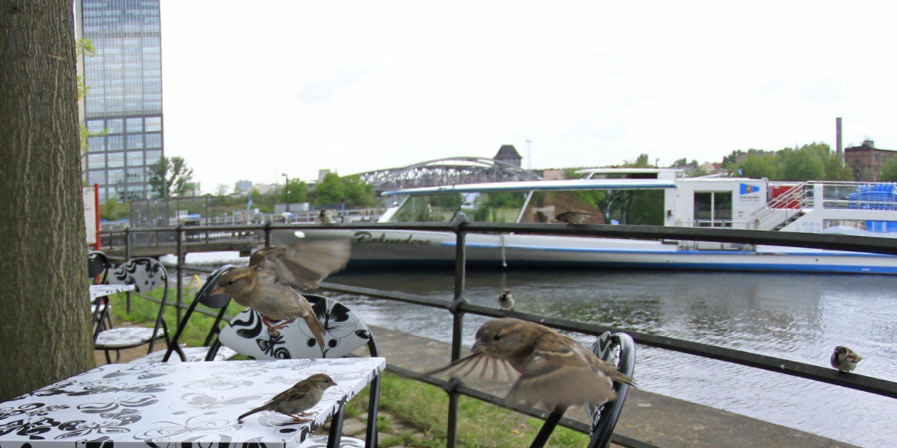 Mehrere Haussperlinge flattern auf einen Tisch am Wasser zu.