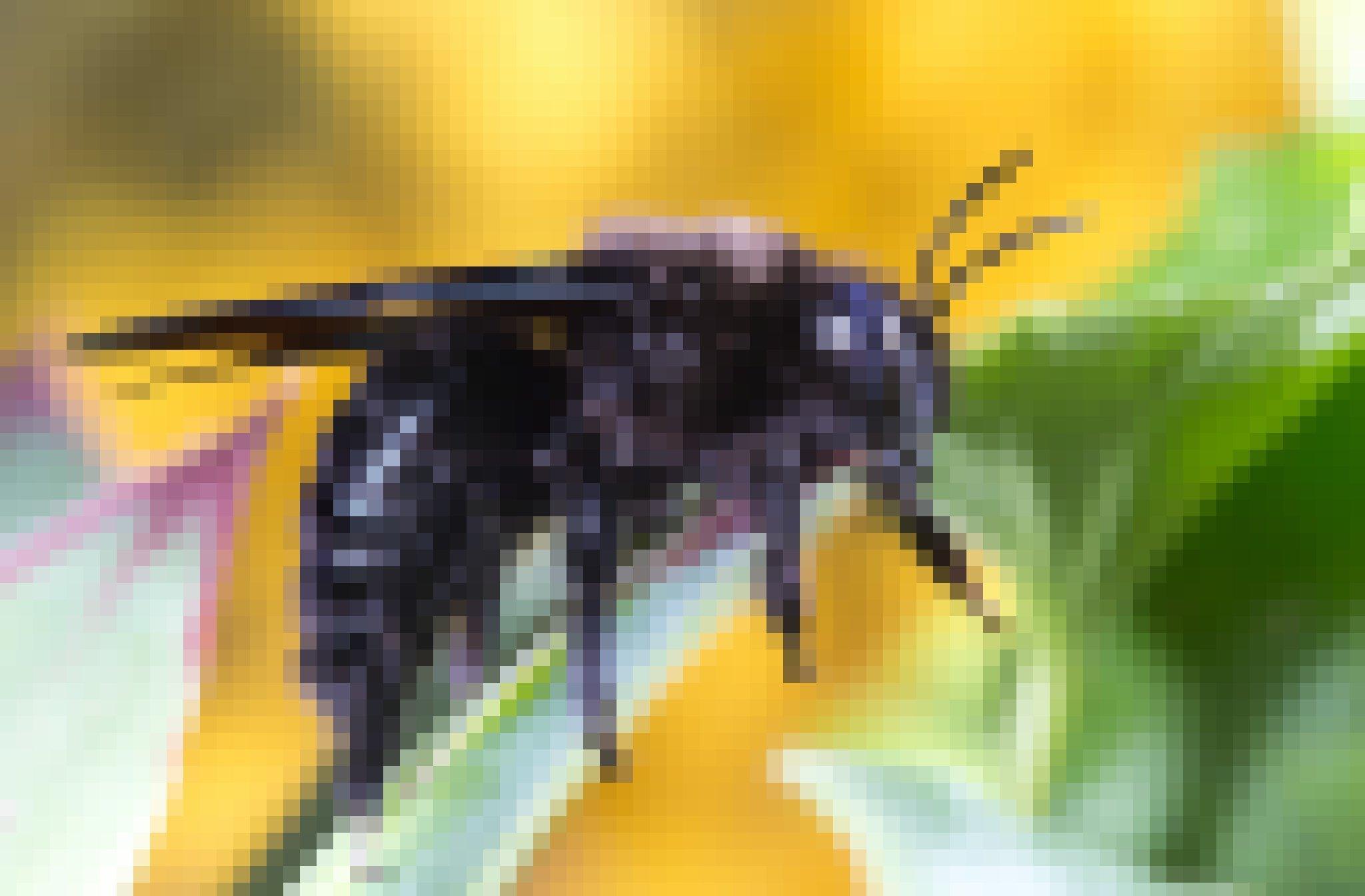 Eine tiefschwarze Biene mit dunkelgrauen Streifen sitzt auf einem Blatt.