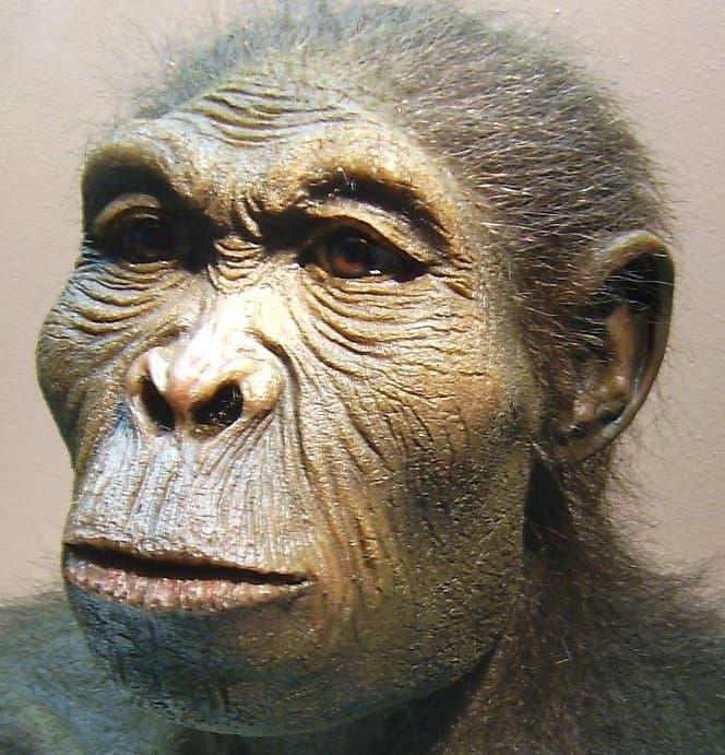 Hier ist eine lebensnahe Rekonstruktion des Kopfes von Homo habilis zu sehen, des vermutlich ersten Vertreters der Gattung Mensch. Die Augen blicken menschlich, doch vieles am Gesicht erinnert noch an seine äffischen Vorfahren. Dieser Frühmensch lebte vor rund zwei Millionen Jahren in den Savannen Ostafrikas.