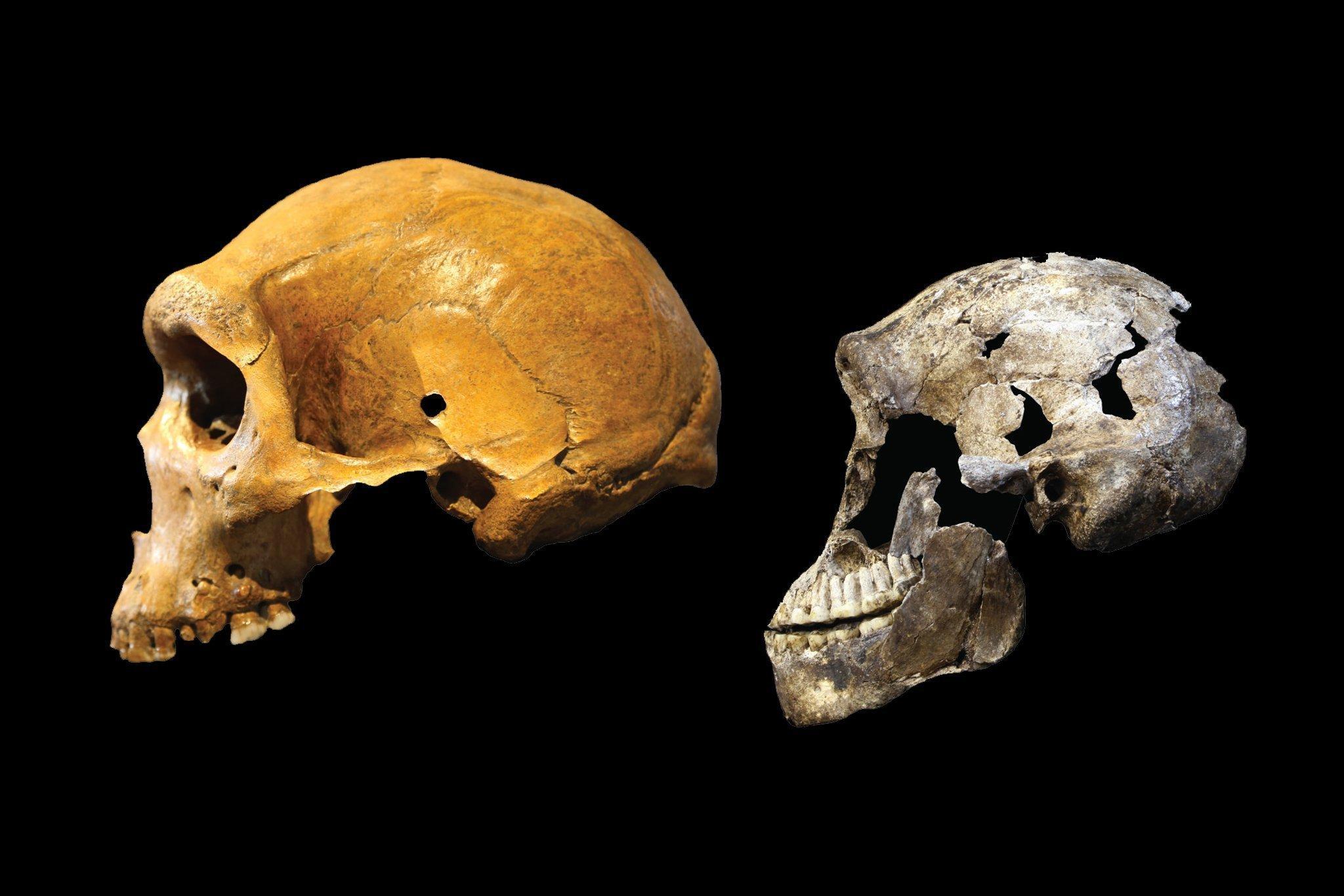 Zu sehen sind die seitlichen Ansichten eines Schädels von Homo naledi und eines Schädels von Homo heidelbergensis. Beide Menschenarten lebten zur gleichen Zeit in Afrika und sind doch sehr unterschiedlich: Der Schädel von Homo naledi ist kleiner und wirkt primitiver. Das Hirnvolumen von Homo heidelbergensis ist dagegen schon fast so groß wie das vom Homo sapiens, dessen Vorgänger er vermutlich ist.