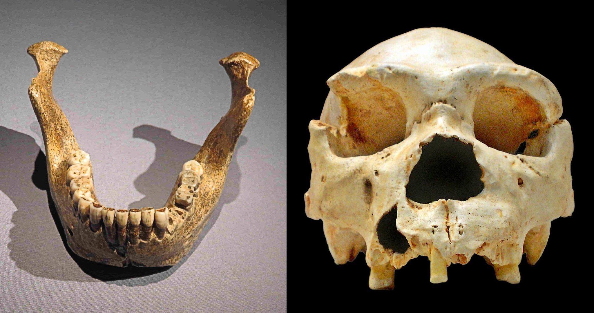 """Das linke Foto zeigt einen kinnlosen fossilen Unterkiefer. Es ist erste Fund eines Homo heidelbergensis, der 1907in Mauer bei Heidelberg entdeckt wurde. Auf der rechten Seite ist der Schädel eines Homo heidelbergensis zu sehen, der in Spanien in der """"Sima de los Huesos"""" gefunden wurde und rund 450.000Jahre alt ist. Auffällig sind seine mächtigen Überaugenwülste. Homo heidelbergensis gilt als Vorfahr sowohl des Neandertalers als auch des modernen Homo sapiens. Er besaß wohl schon Sprache, die Fähigkeit gemeinsam zu jagen und in die Zukunft zu planen."""