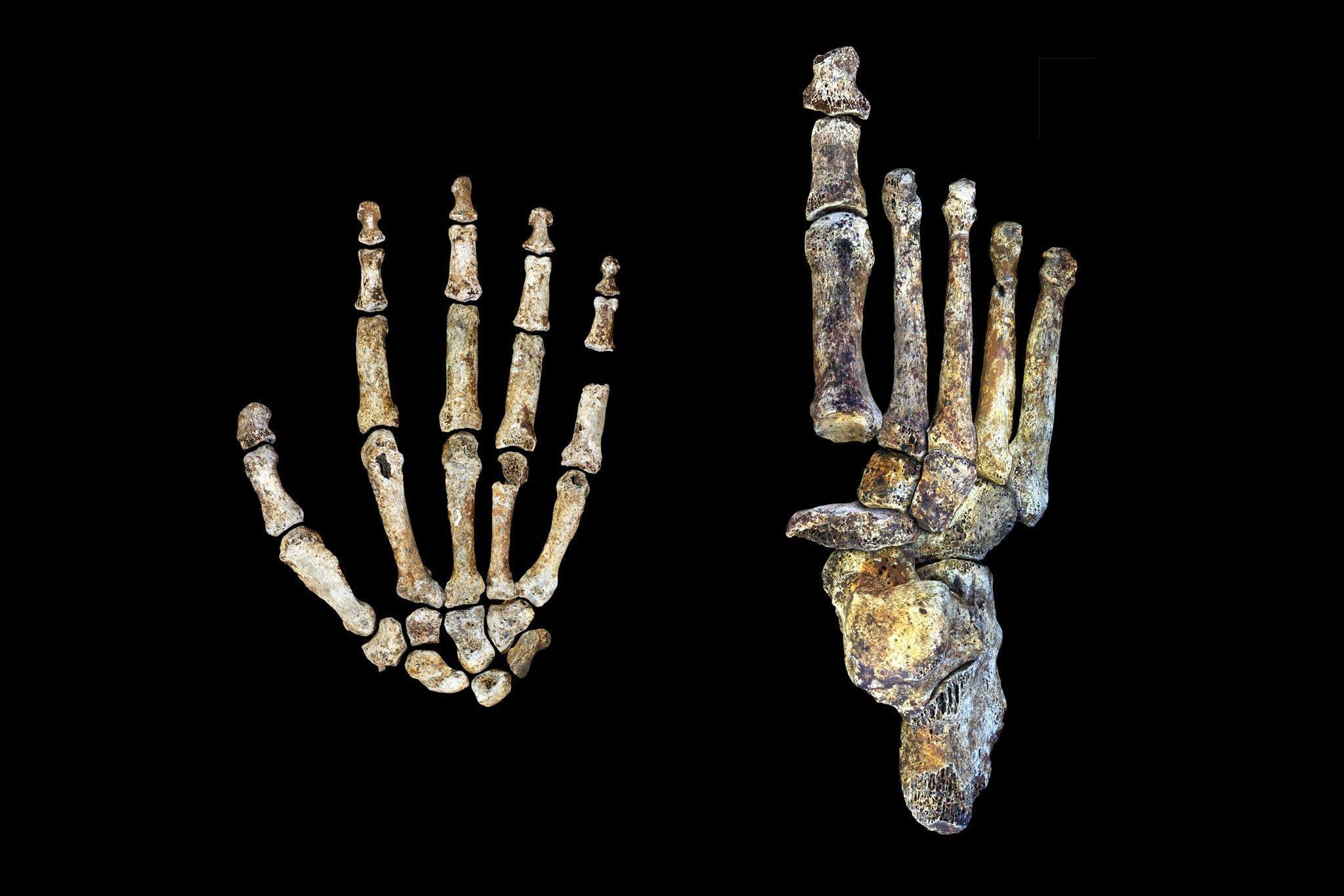 Auf der linken Seite des Fotos sind die Knochen einer Hand von Homo naledi zu sehen, auf der rechten die Knochen eines Fußes. Die Fossilien zeigen, dass dieses Wesen einerseits gut klettern konnte, aber auch anatomische Merkmale hatte, die an die Anatomie des modernen Menschen erinnern. Homo naledi wirkt wie ein seltsames Mischwesen.