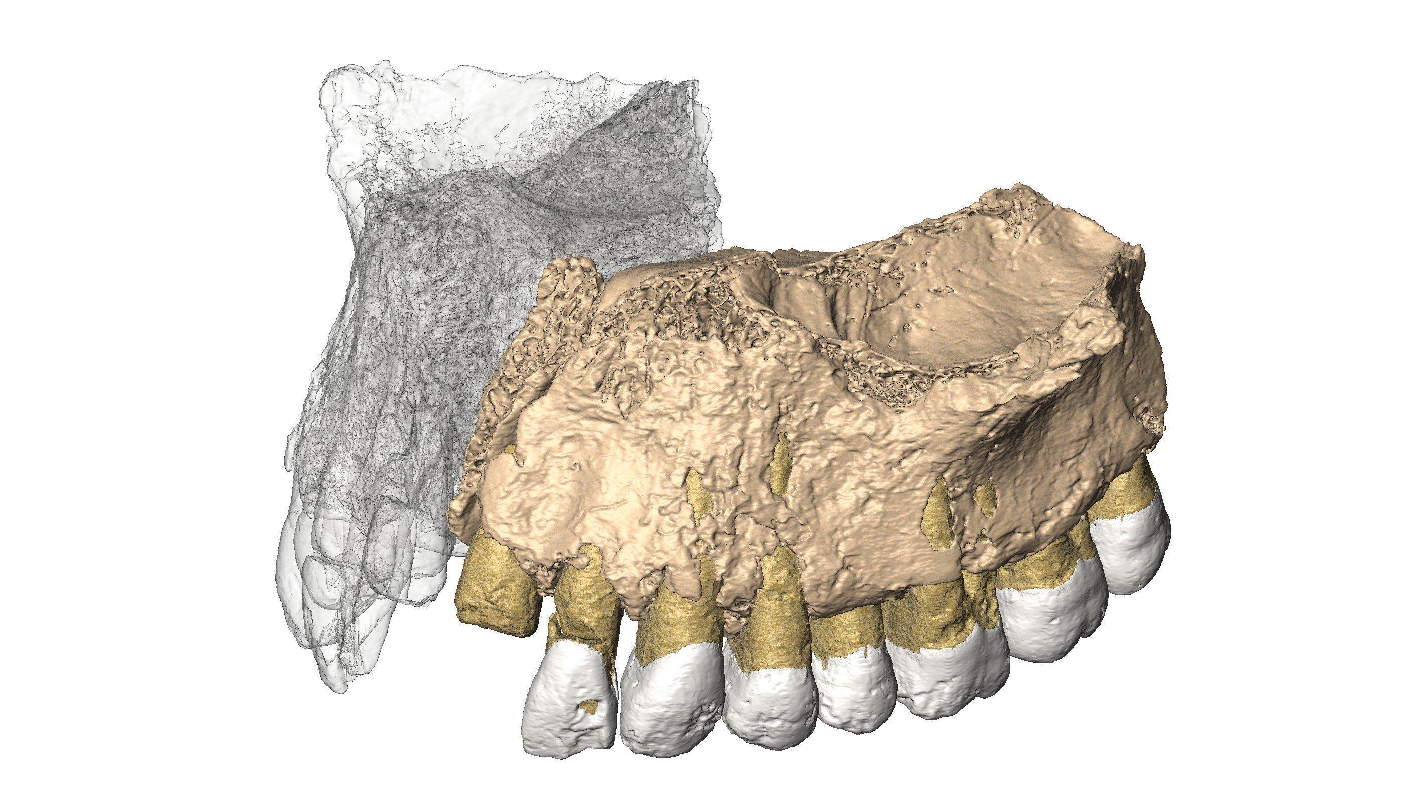 Das Bild zeigt die wie eine Zeichnung wirkende Rekonstruktion eines rund 180.000Jahre alten Oberkiefers. Sie wurde anhand von Aufnahmen im Micro-Computertomographen gewonnen. Der Oberkiefer gehörte einst einem modernen Homo sapiens und wurde in der Misliya-Höhle in Israel entdeckt.