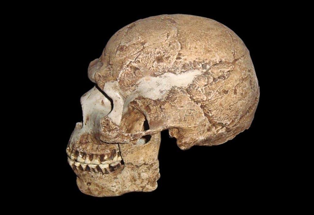 Auf dem Foto zu sehen ist der hellbraune, von der Seite aufgenommene Schädel eines Homo sapiens, der sehr gut erhalten ist und noch fast alle Zähne hat. Die Hirnkapsel ist rund, das Kinn ausgeprägt, die Bögen über den Augen sind deutlich weniger stark als etwa beim Neandertaler – kurzum, er ähnelt heutigen Menschen schon weitgehend. Das Fossil wurde bereits vor vielen Jahren in Skhul, einer Höhle im heutigen Israel, entdeckt und wird auf rund 90.000Jahre datiert. Dieser Mensch und seine Angehörigen waren offenbar bereits aus Afrika ausgewandert. Anatomisch dürften sie jenen Menschen ähneln, die als erste auch den europäischen Kontinent besiedelten. Wie jetzt eine Grabung in Rumänien ergab, erreichte der Homo sapiens Europa bereits vor mindestens 45.000Jahren – viel früher als bislang gedacht.