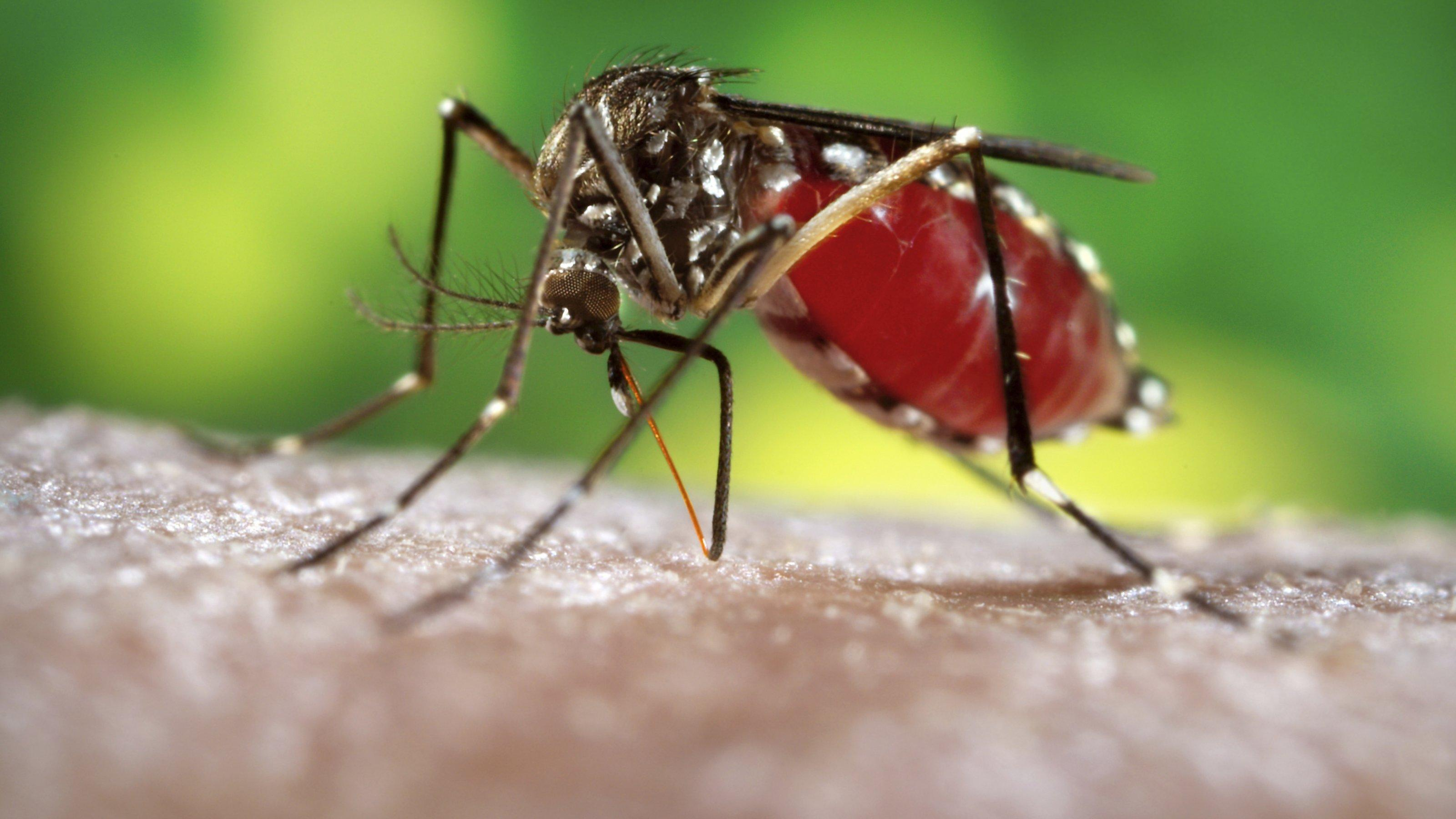 """A female, Aedes aegypti mosquito obtaining a blood meal from a human host. Original image sourced from US Government department: Public Health Image Library, Centers for Disease Control and Prevention. Under US law this image is copyright free, please credit the government department whenever you can""""."""