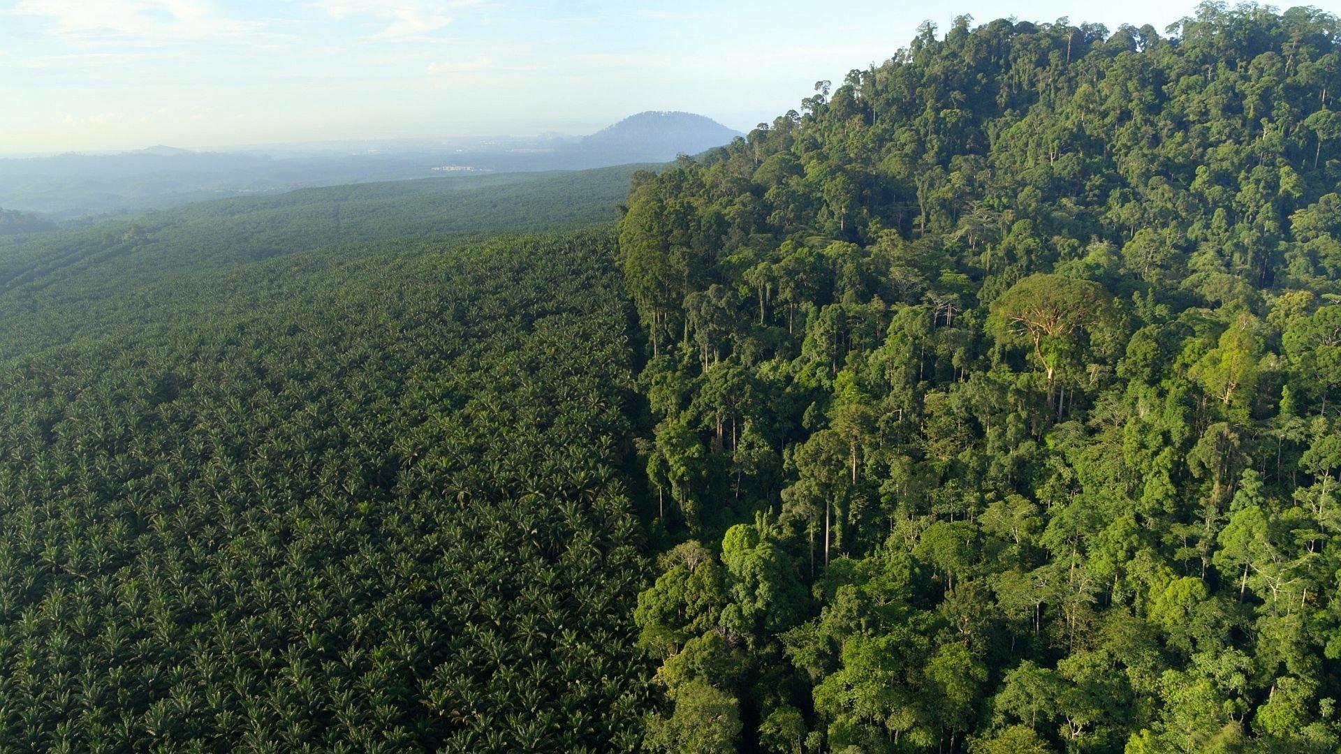 In der linken Bildhälfte ist eine Palmölmonokultur zu sehen, rechts der wuchernde Urwald