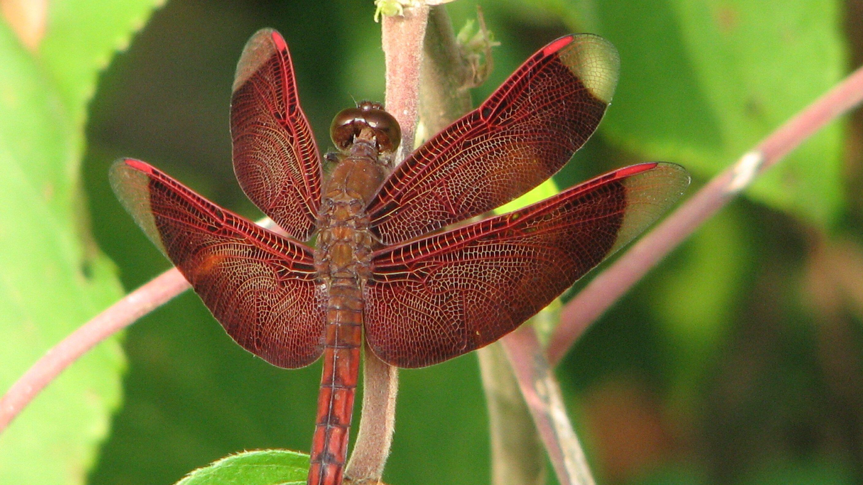 Das Foto zeigt eine rote Libelle