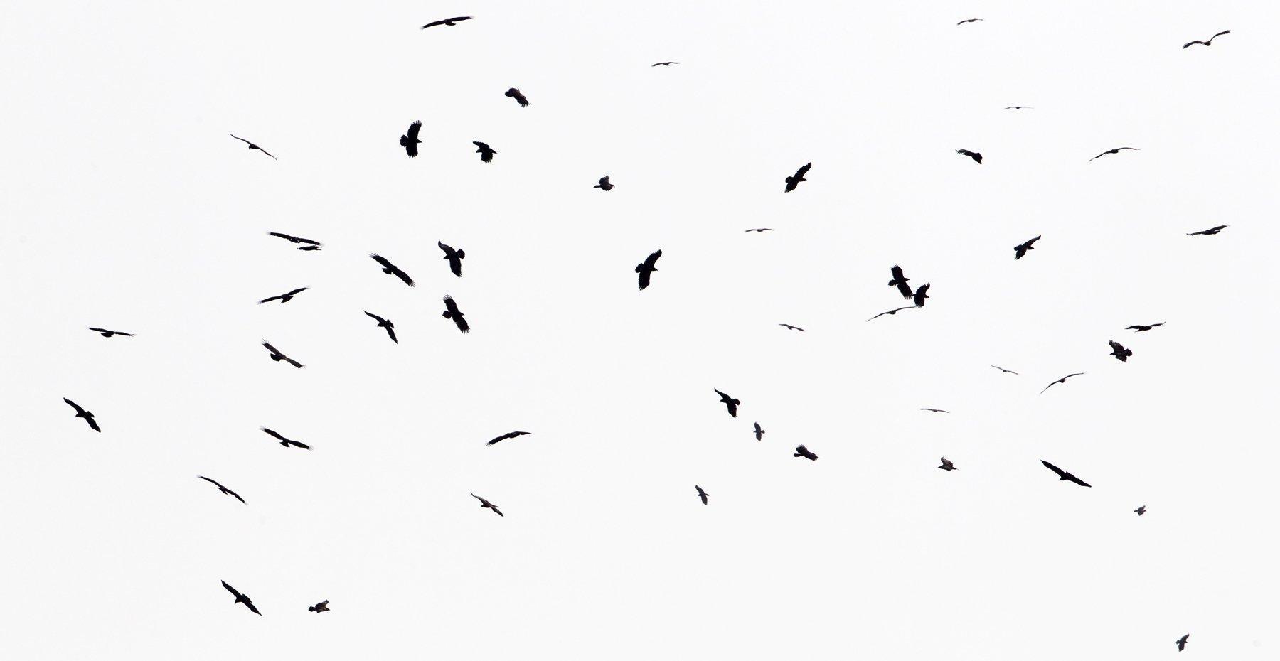 Eine Gruppe Schreiadler schraubt sich in den Himmel