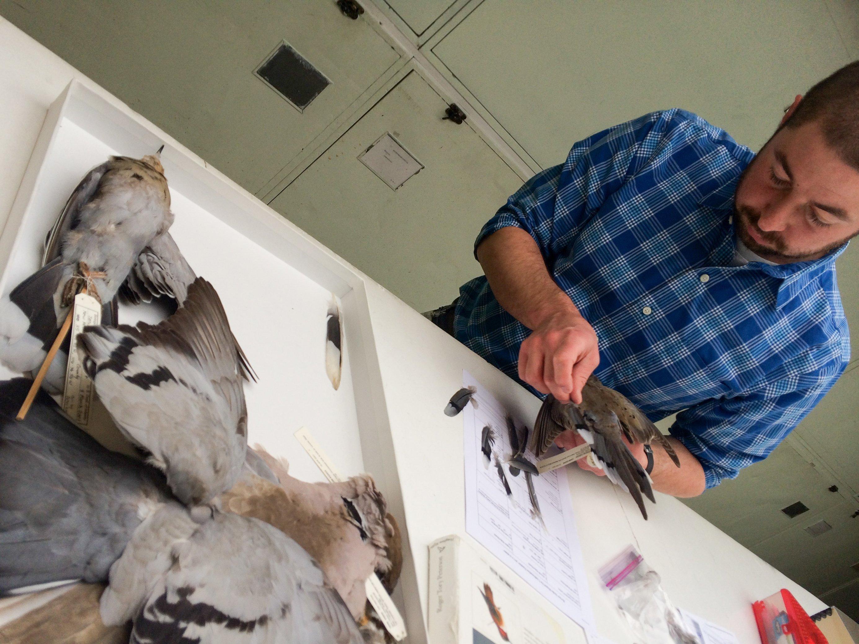 Jim Whatton, kurze braune Haare und Vollbart, blaues Hemd mit weißen Karos, steht vor einem weißen Tisch, auf dem eine Lade mit sechs Vogelbälgen liegt. Sie enthält Tauben. Er hält eine Trauertaube in der Hand und vergleicht ihre Federn mit einer Schwanzfeder, um sie zu bestimmen.
