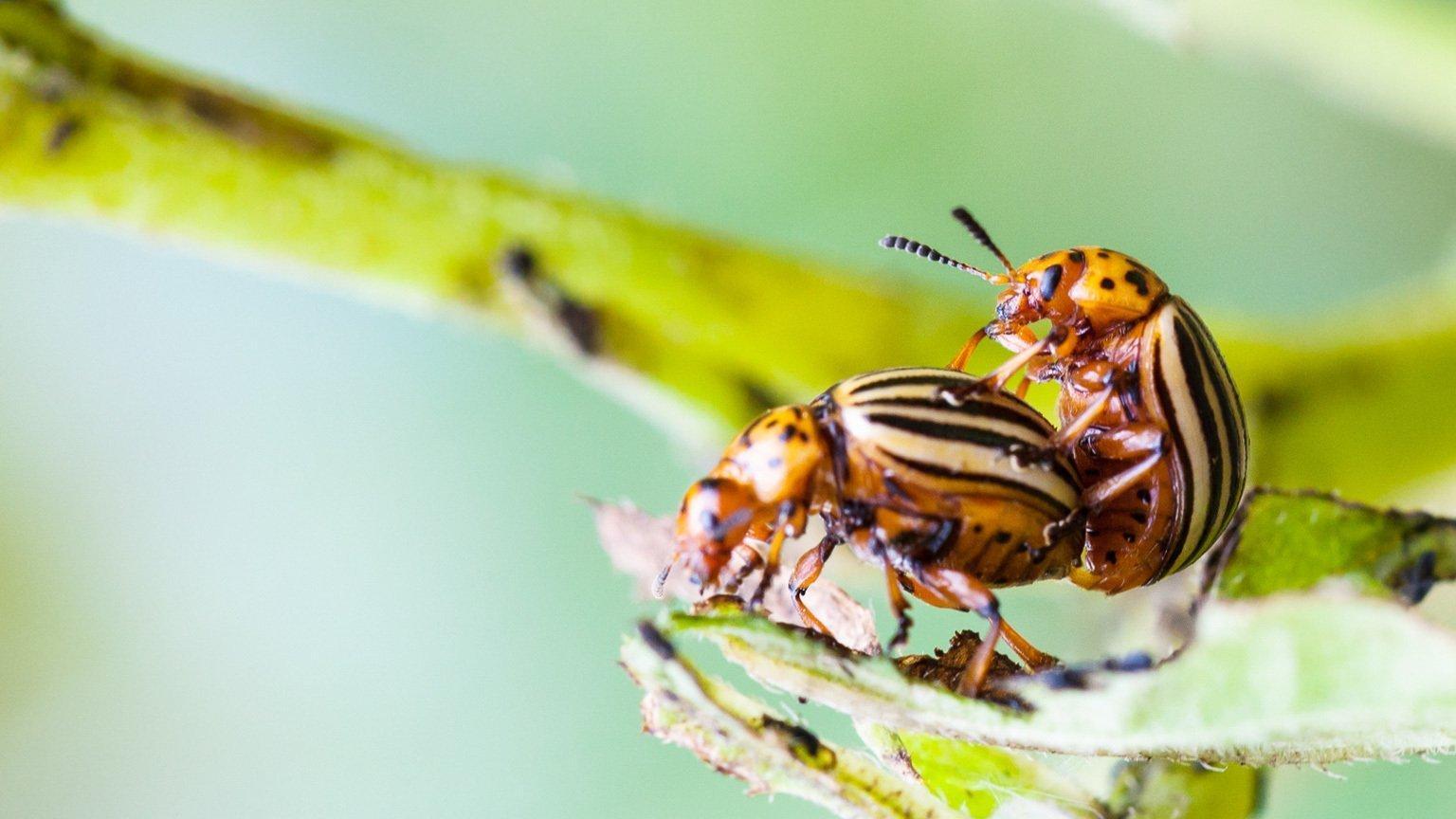 Zwei bernsteinbraune Käfer mit gelb-schwarz gestreiften Flügeln. Das Männchen hängt auf dem Rücken des Weibchens.