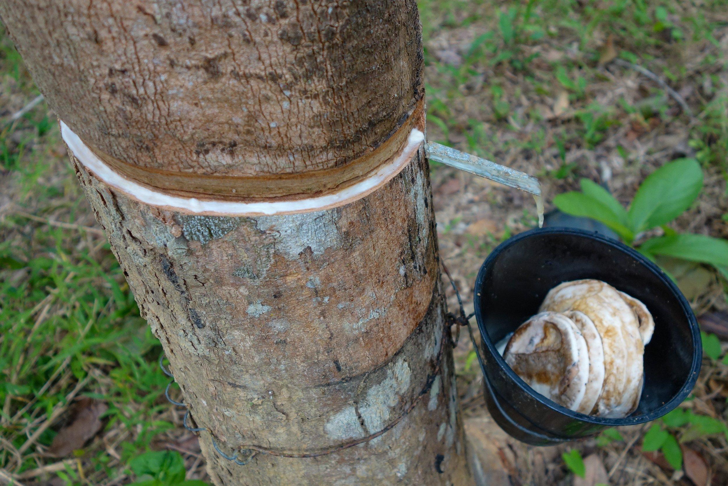In einen Baumstamm sind Rillen geritzt, über die der Milchsaft aus dem Inneren des Kautschukbaums abfließen kann. Ein Metallplättchen führt ihn in einen schwarzen Plastikeimer, wo der Latex gesammelt wird.