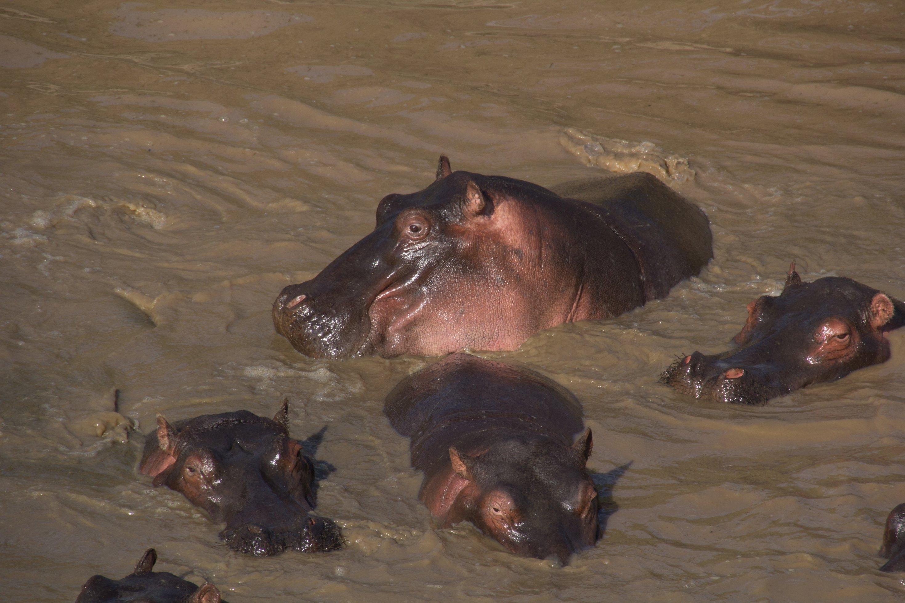 Einige Flusspferde sind mit ihren Köpfen aus dem Mara aufgetaucht.