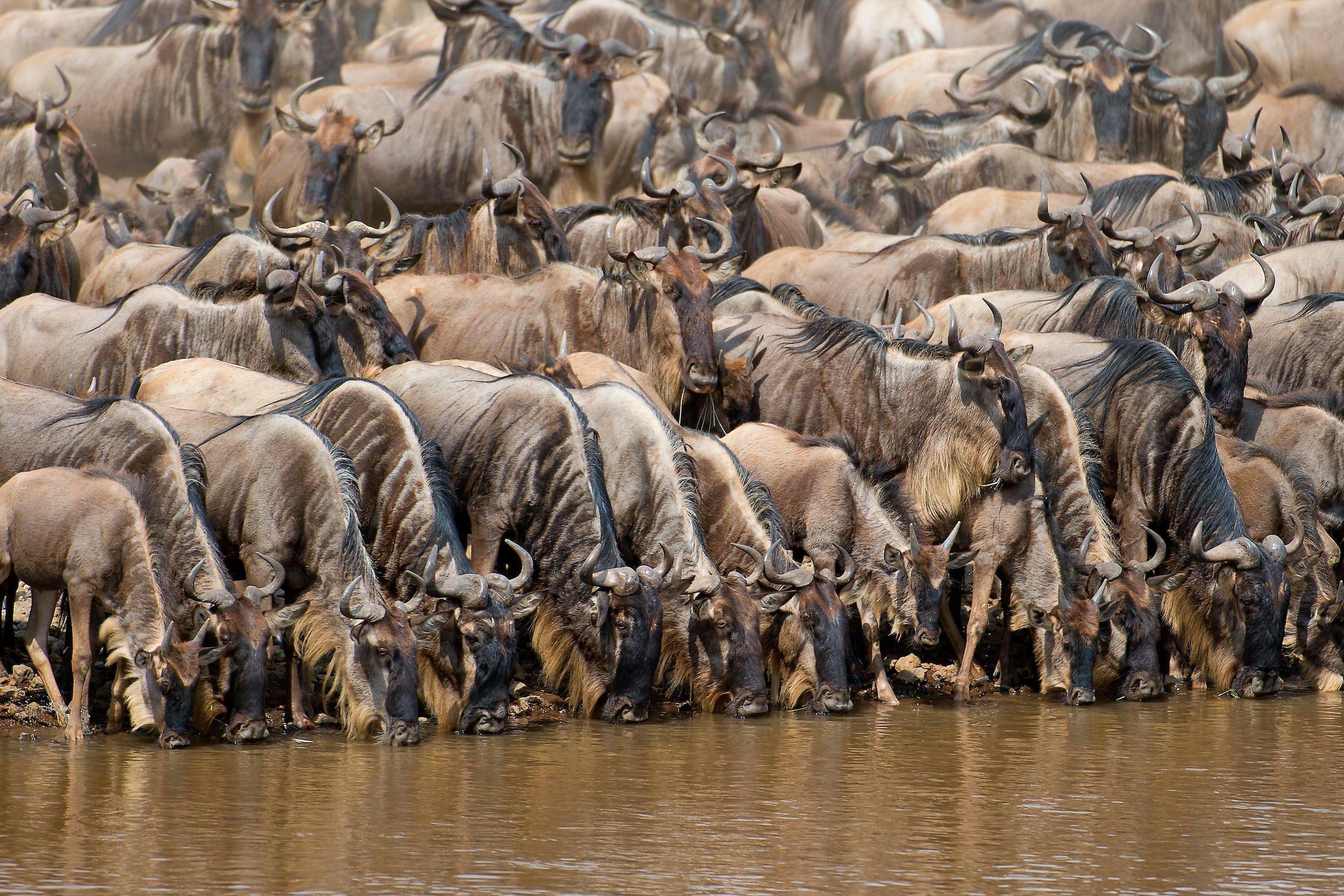 Dicht gedrängt stehen etliche Gnus, die Köpfe in den Mara-Fluss gesenkt, um zu trinken.