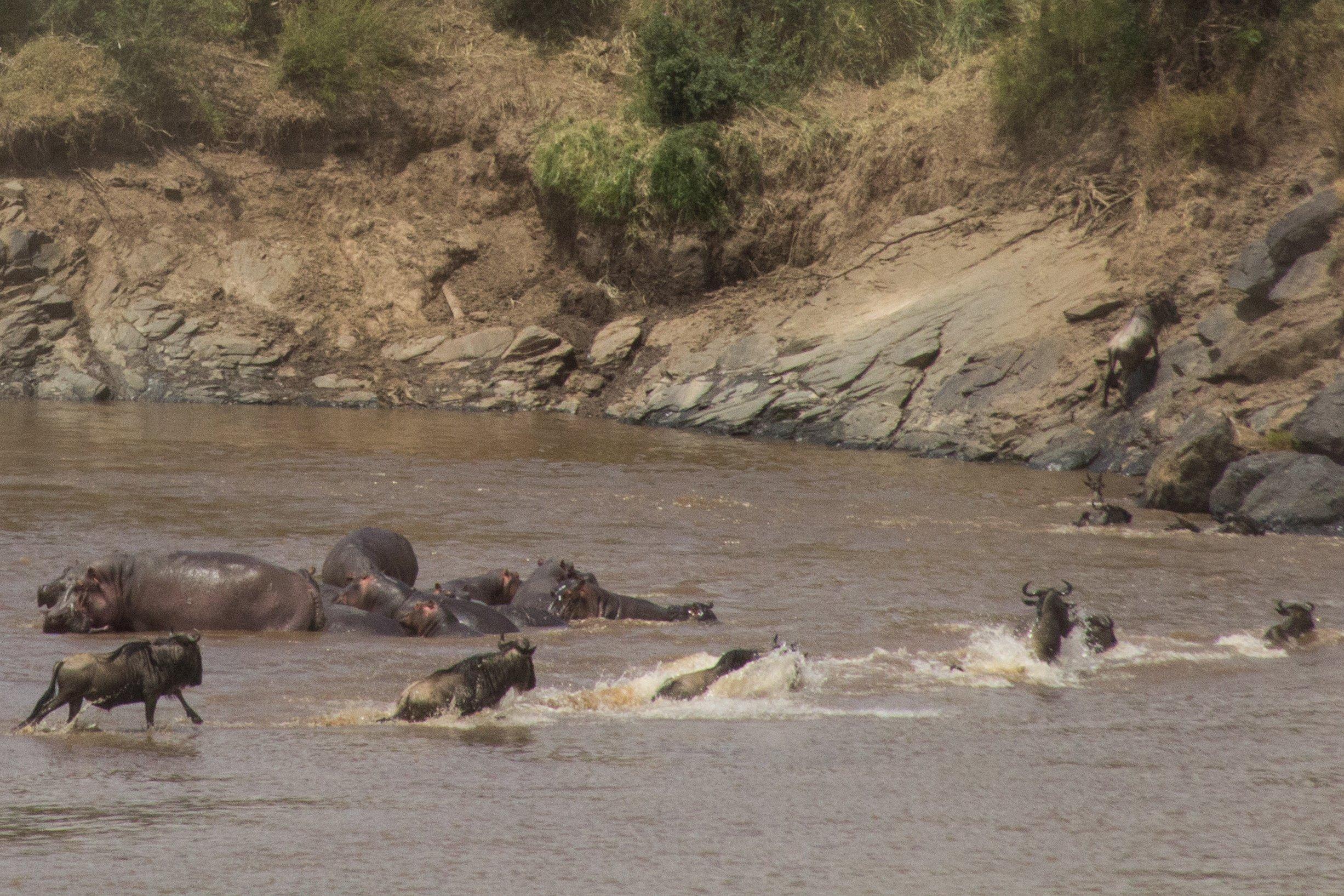Zu sehen ist der Mara-Fluss, Gnus springen durch den Fluss. Daneben liegen Flusspferde. Oben auf dem Steilufer des Flusses stehen die Safari-Autos von Touristen.