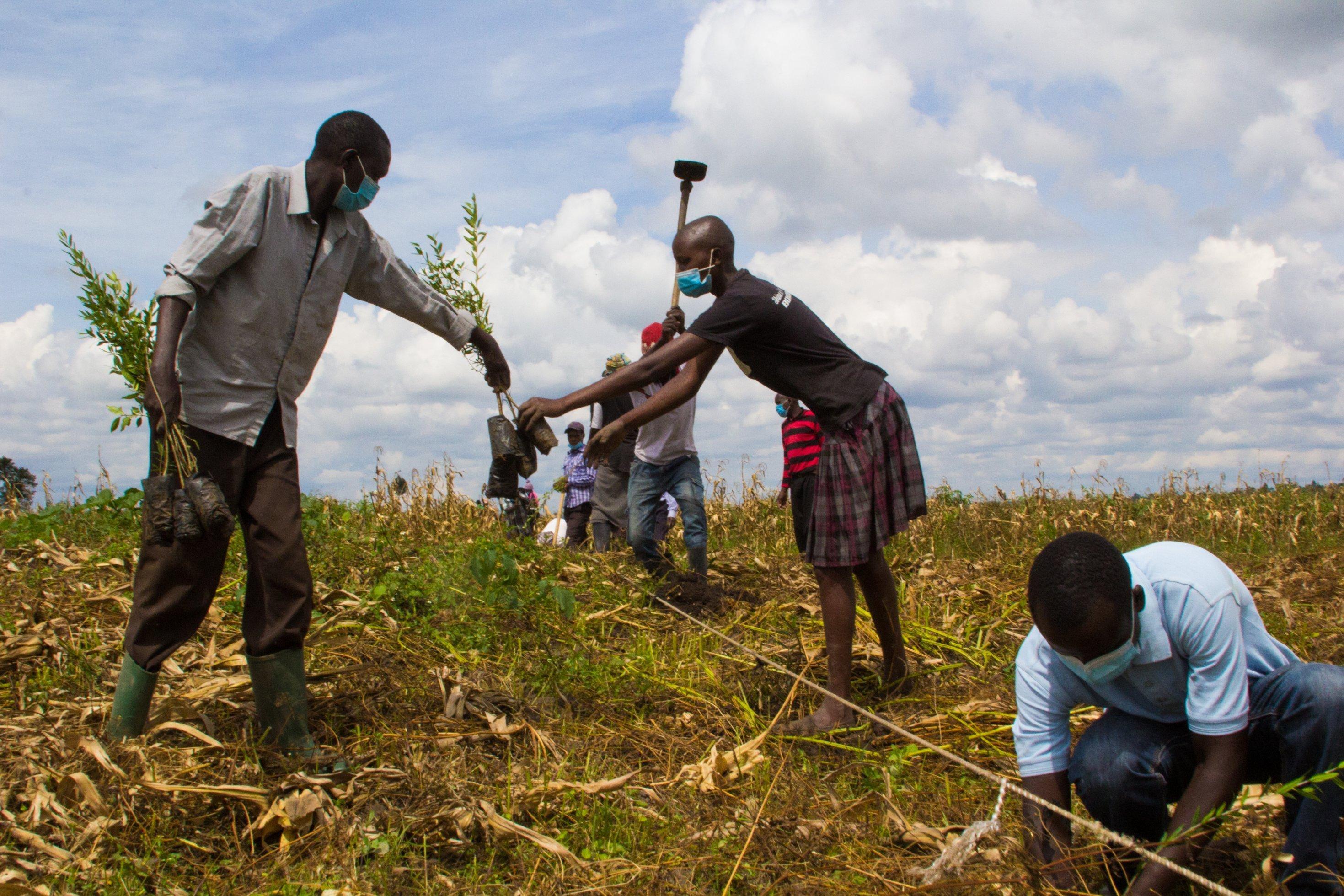 Entlang eines Seils pflanzen Männer und Frauen die Setzlinge in ein abgeerntetes Maisfeld.