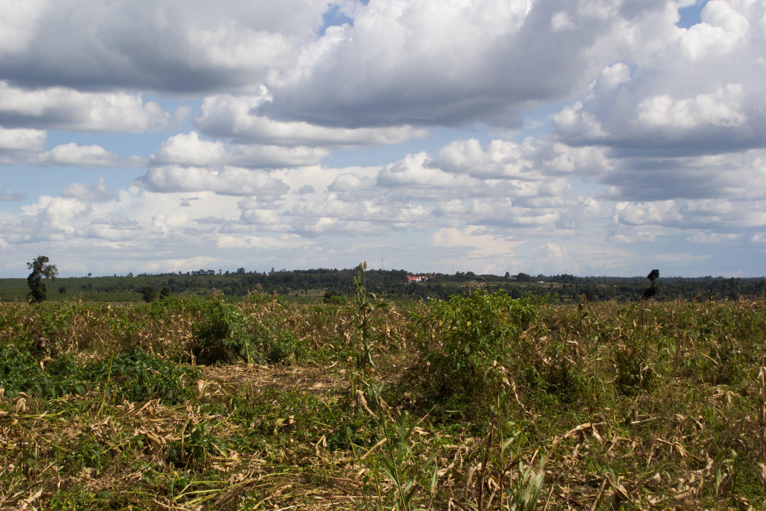 Im Vordergrund ist ein abgeerntetes Maisfeld zu sehen, im Hintergrund ein paar Bäume, zwischen den Bäumen einige Häuser.
