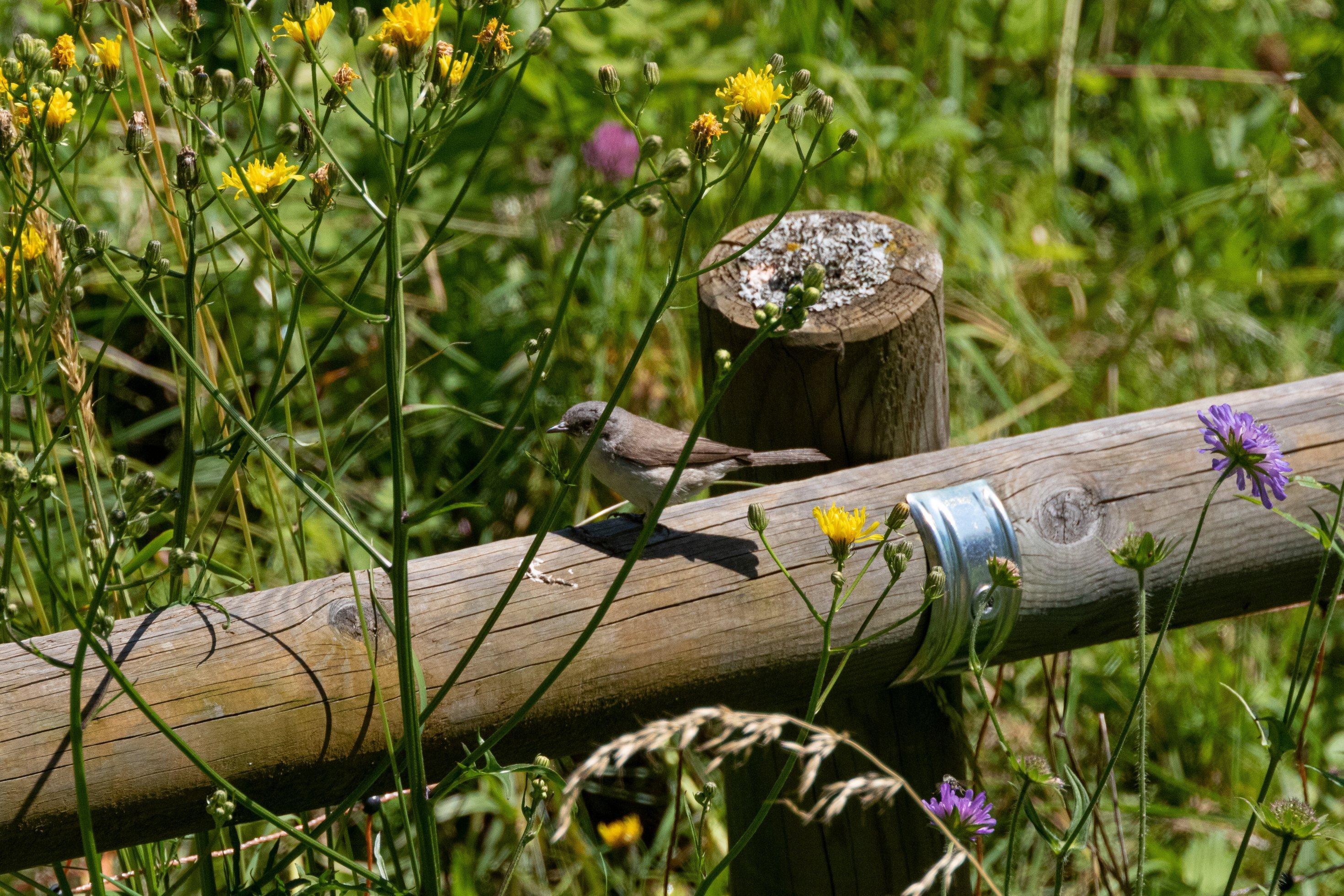 Kleiner grauer Vogel auf Holzzaun, drumherum Wiese mit blühenden Blumen