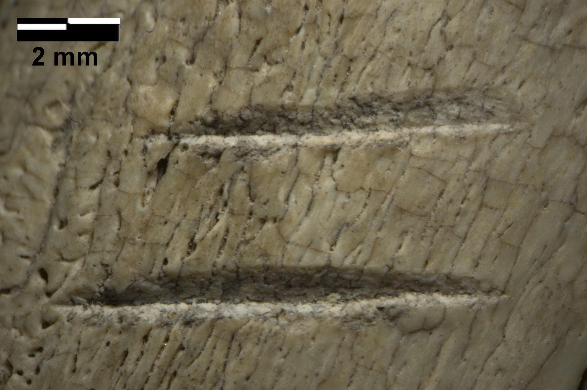 Das Foto zeigt einen 3,4Millionen Jahre alten fossilen Knochen, auf dem mehrere, nur wenige Millimeter lange Kratzer zu erkennen sind. Forscher der Emory University im US-Bundesstaat Georgia sind sich nach Untersuchung der Spuren sicher, dass die Kratzer von Steinen stammen, mit denen Vormenschen Fleisch von den Knochen toter Tiere abgeschabt haben. Zwar waren die Wesen noch keine Menschen – gehörten also nicht der Gattung Homo an -, doch offenbar nutzen sie bereits Steinwerkzeuge.
