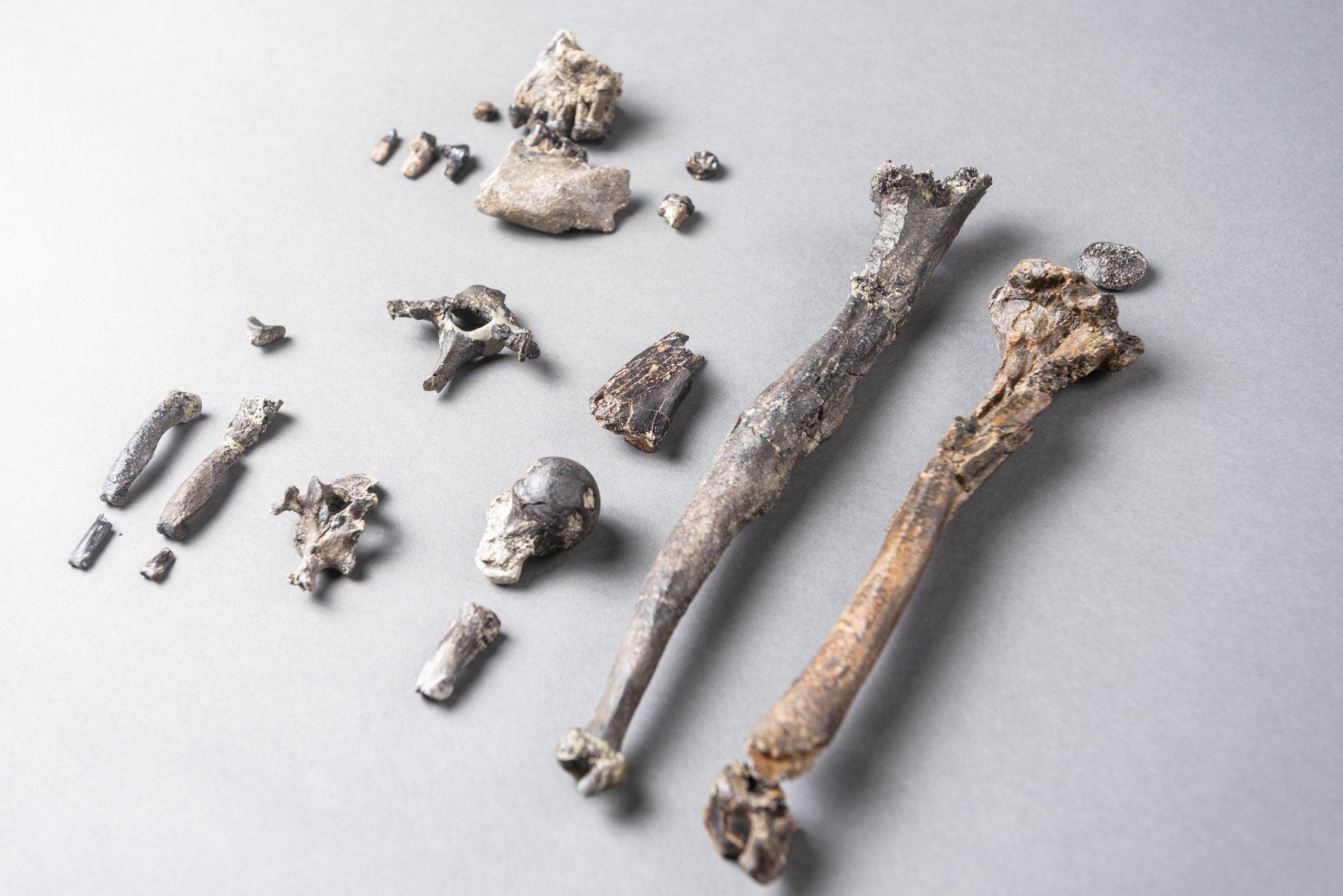 """Hier sind die 21Knochenstücke zu sehen, die Forscher von dem Menschenaffen """"Udo"""" gefunden haben. Es handelt sich nur um den Bruchteil eines kompletten Skelettes und doch verraten die Fossilien den Wissenschaftlern, dass """"Udo"""" sowohl aufrecht gehen als auch gut klettern konnte."""