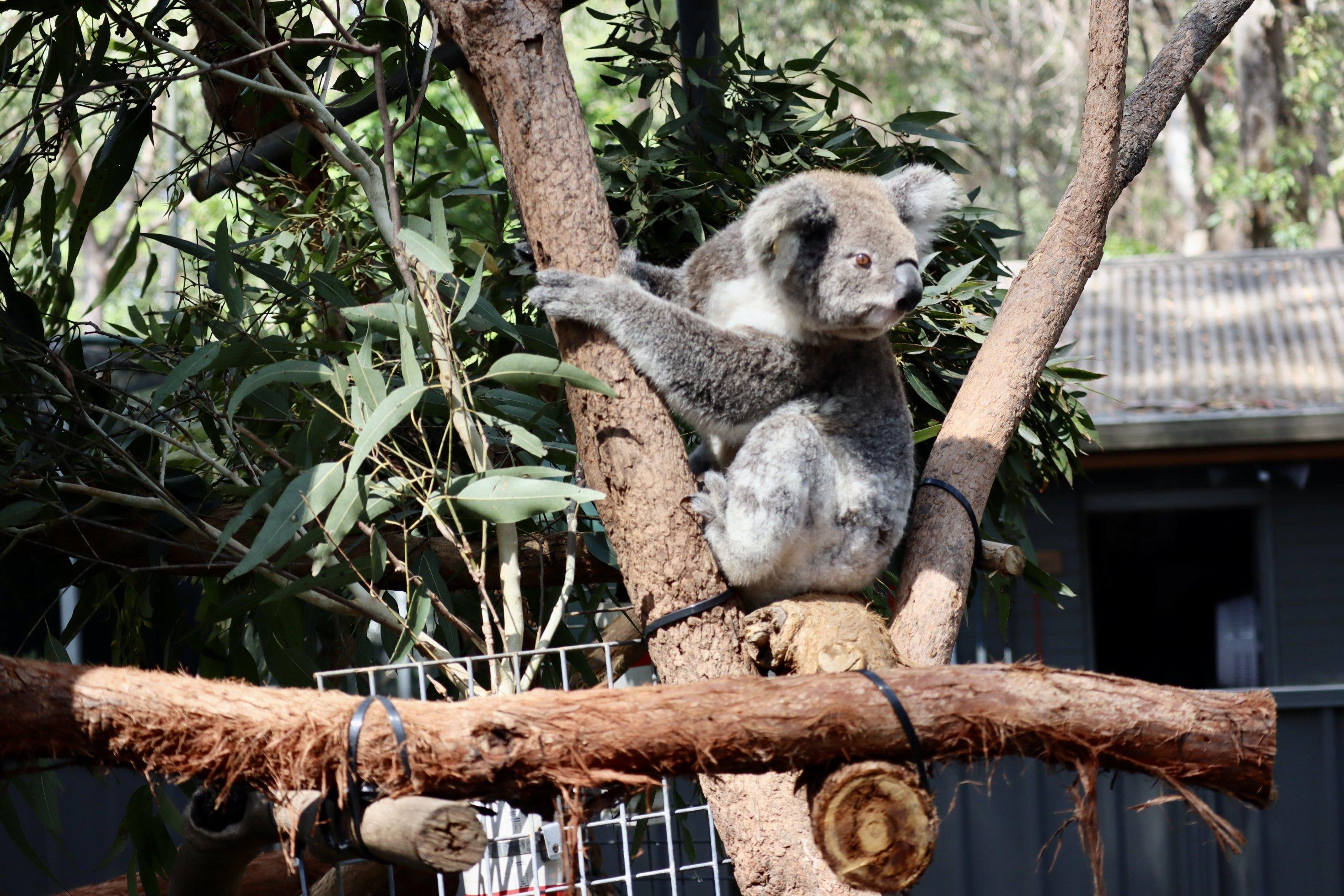 Im offenen Gehege des Koala Hospitals sitzt das Koalaweibchen auf einem Astgerüst. Emerald Downs Mary, so der Name des Tiers nach seinem Fundort, ist dauerhaft in Port Macquarie in Pflege, da es blind ist und in freier Wildbahn nicht überleben könnte.