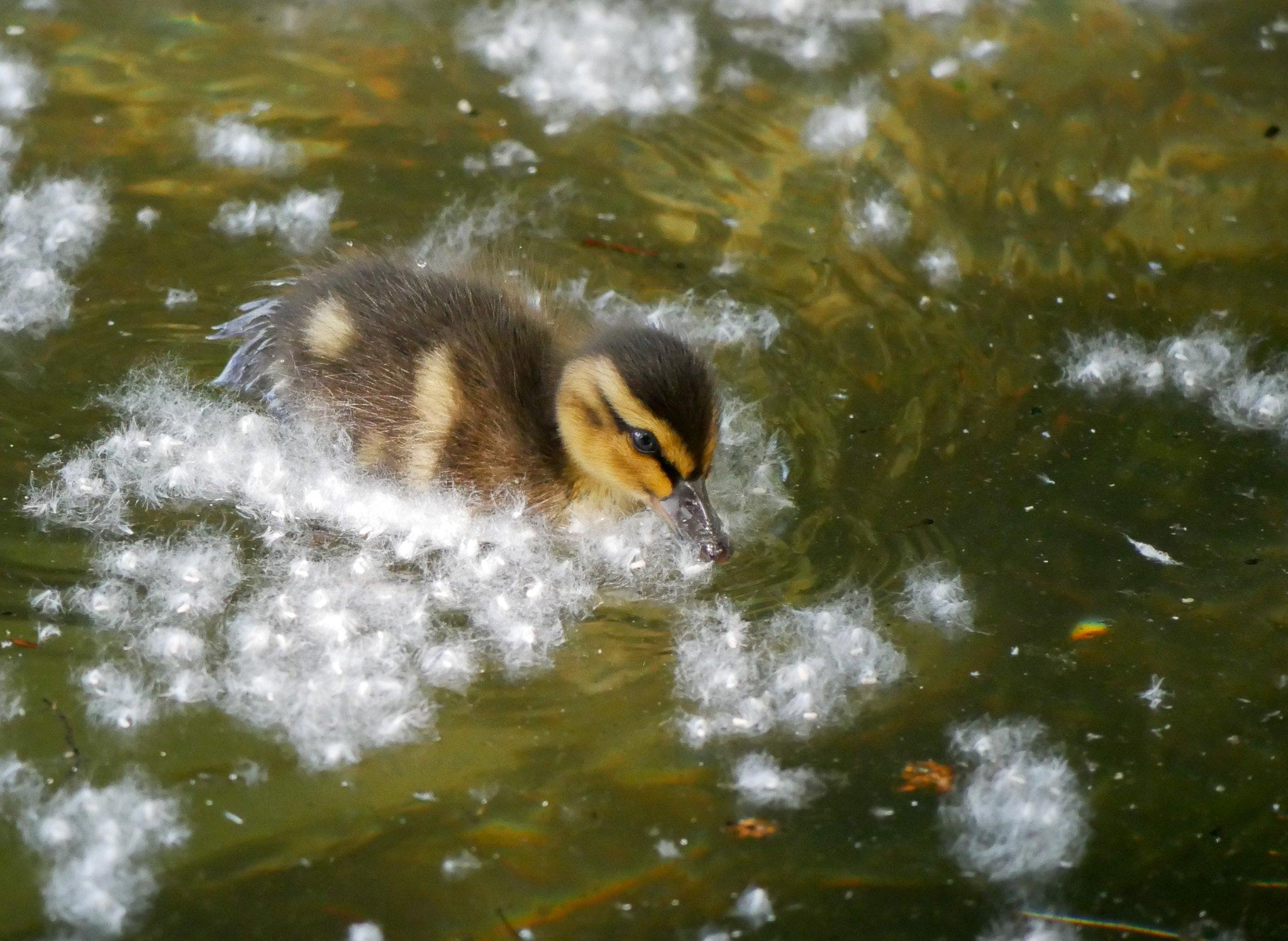 Ein braun-gelb gemustertes Entenküken auf einer olivgrünen Wasserfläche. Um das Tier herum Flocken von Pappel-Pollen.