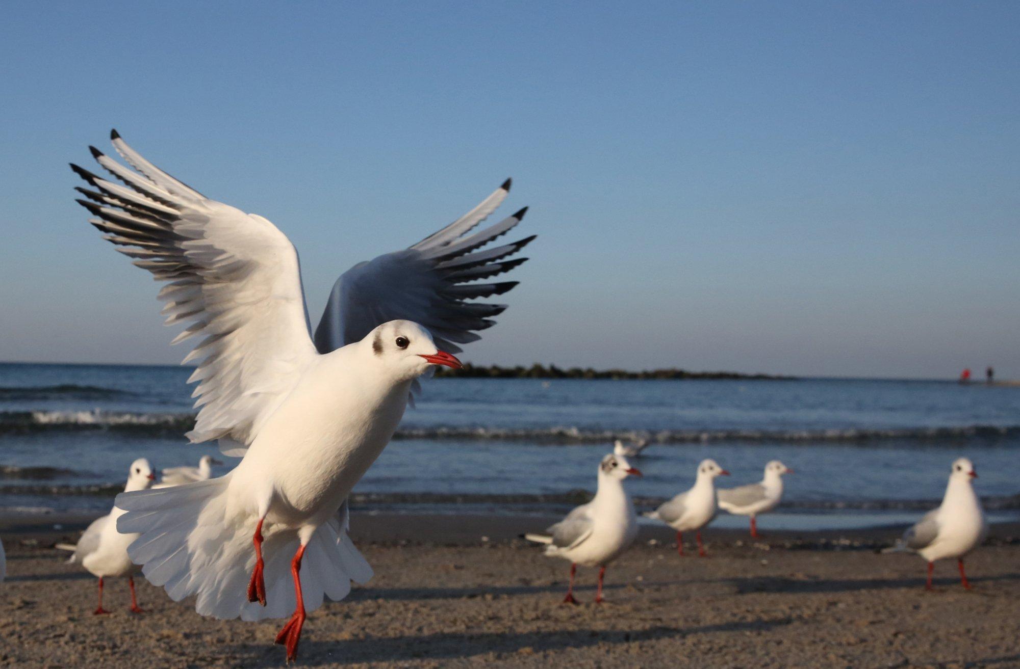 Bild von Lachmöwen am Meer.