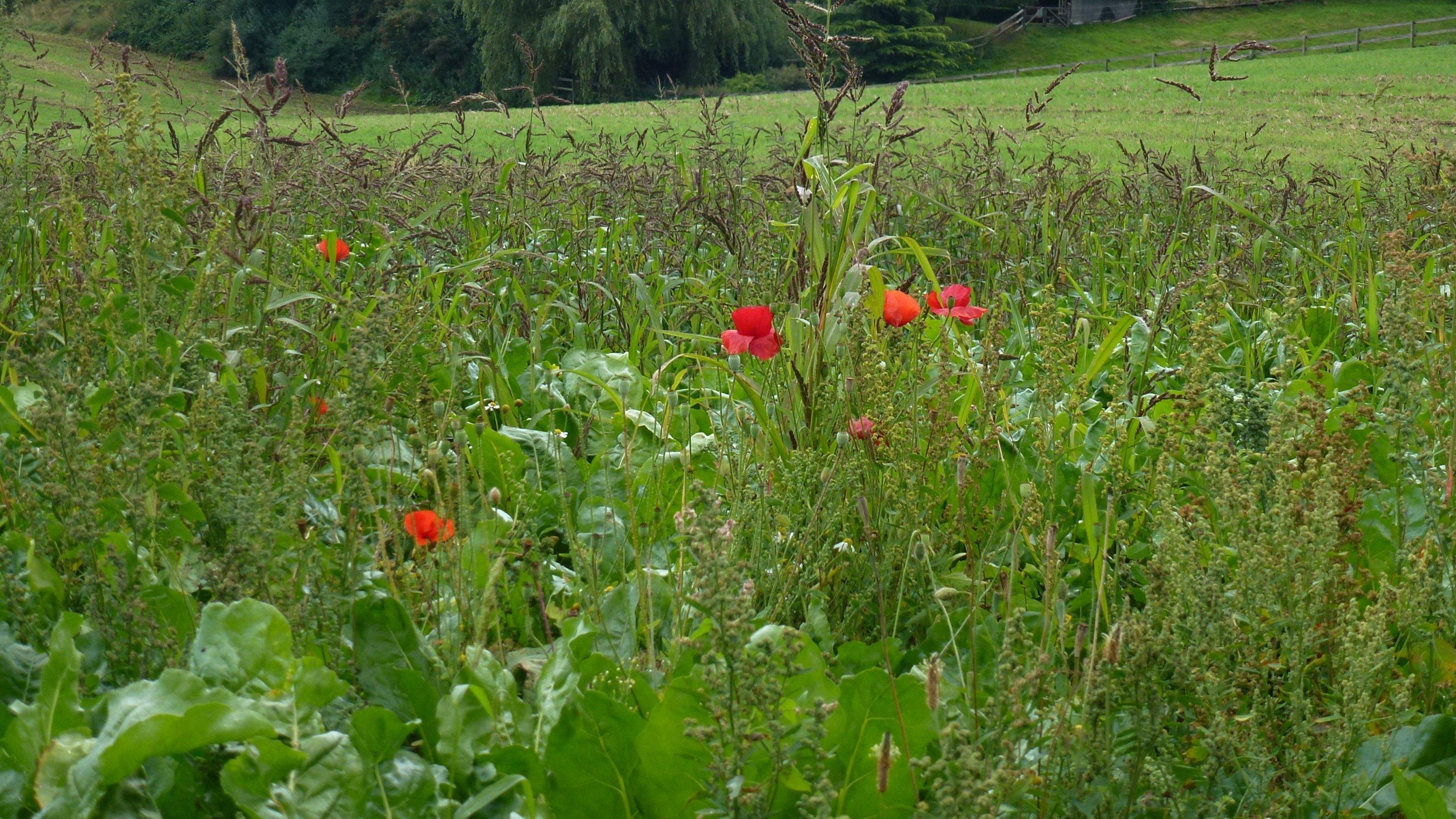 Ein Blühstreifen mit Mohnblumen am Rand eines Feldes