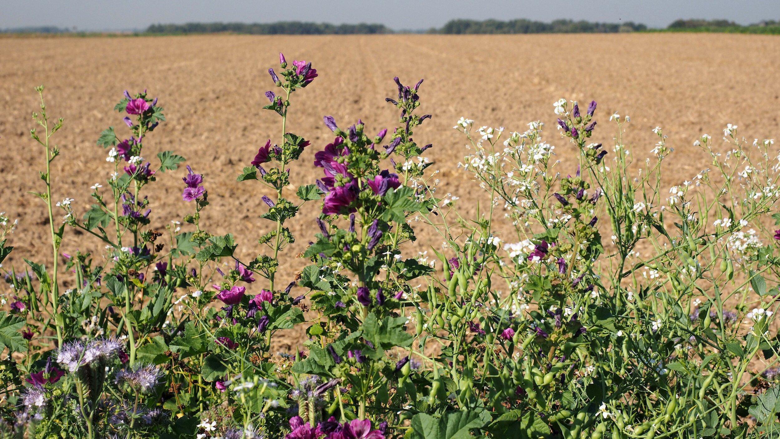 Ein dünner Blühstreifen mit blühenden Malven vor einem weiten, gepflügten Feld.