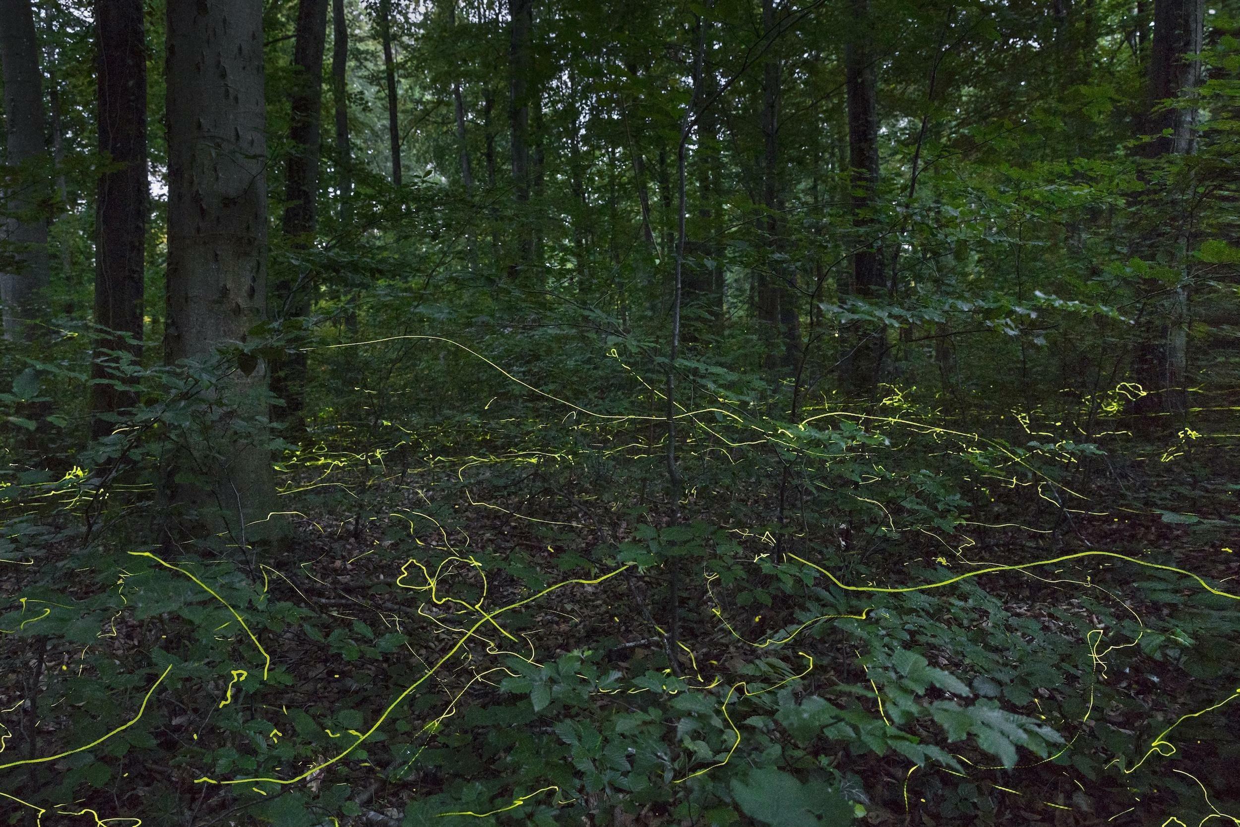 In einem Wald sind hell leuchtende Striche zu sehen – Langzeitaufnahme von Glühwürmchen.