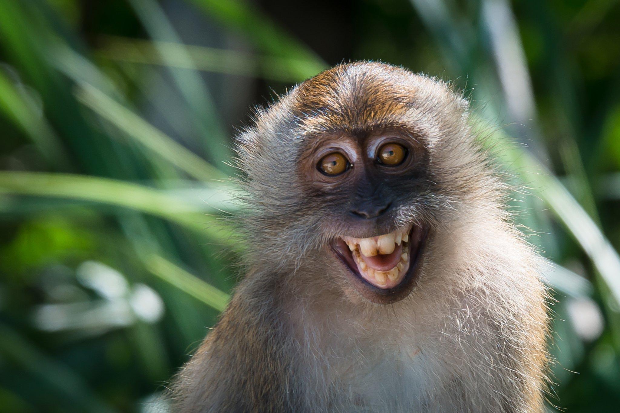 Ein Affe blickt mit großen braunen Augen und gebleckten Zähnen in die Kamera. Es ist ein Langschwanzmakake, der im Tarutao National Park in Thailand lebt. Zu sehen sind sein Kopf und Oberkörper, die mit graubraunem Fell bedeckt sind, vor dem verwaschenen Hintergrund grüner Blätter. Die nach vorne gerichteten Augen der Affen bewirken, dass die Tiere hervorragend räumlich sehen und Entfernungen beim Springen von Ast zu Ast gut abschätzen können.