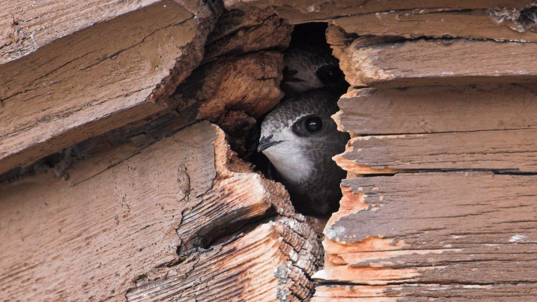 Grauer Kopf, weißes Kinn, schwarze Augen – ein Mauersegler blickt zwischen Brettern hervor.