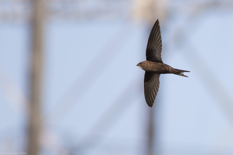 Ein Mauersegler fliegt mit ausgebreiteten Flügeln durch die Luft.