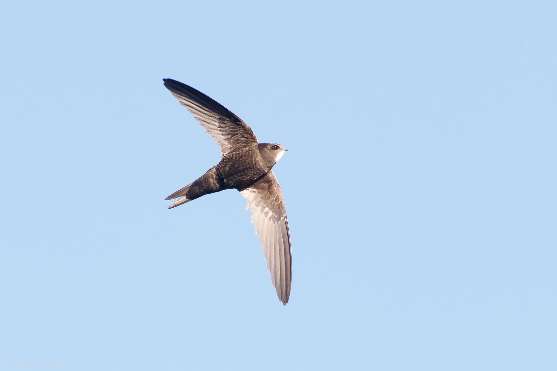Ein einzelner Mauersegler mit ausgebreiteten Flügeln vor einem wolkenlosen, blauen Himmel.