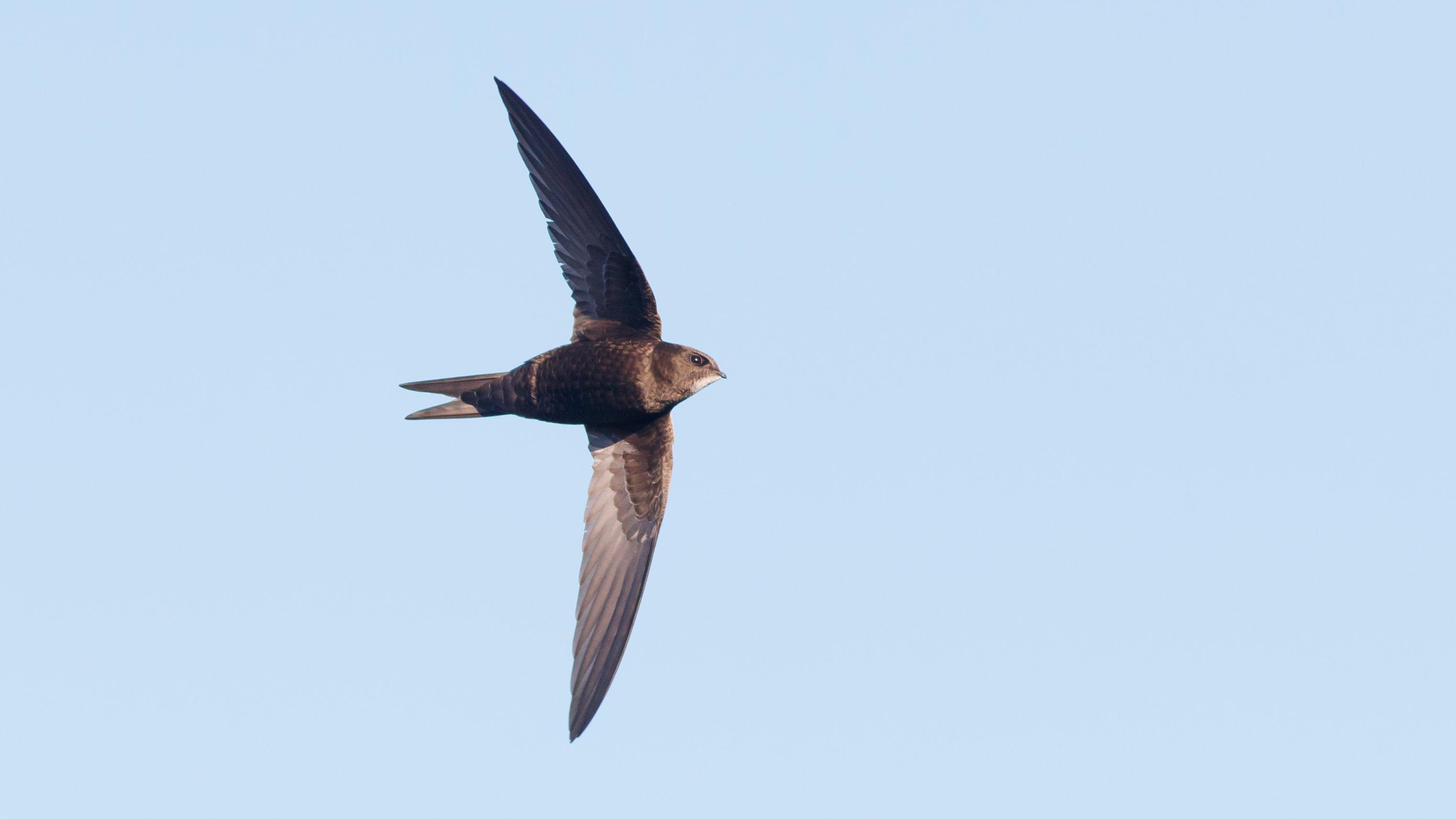 Ein graubraun gefärbter Mauersegler mit ausgebreiteten Flügeln am blauen Himmel.