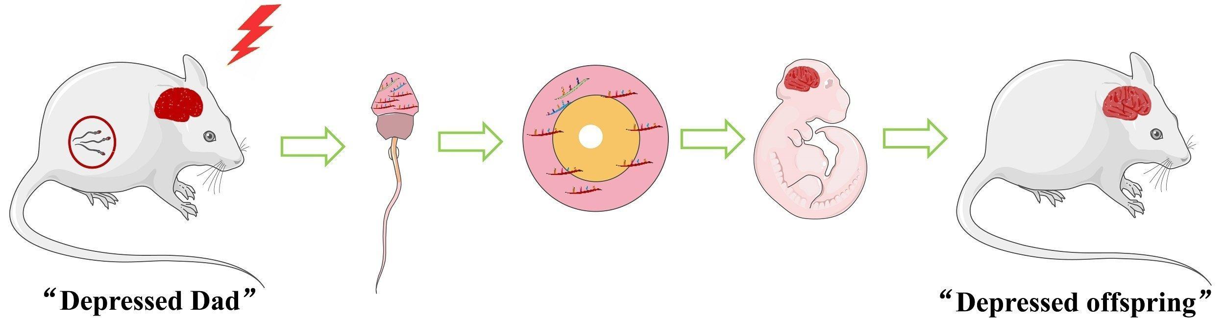 Zeichnung zeigt eine traumatisierte Maus mit epigenetisch verändertem Gehirn und veränderten Spermien. Die Veränderung wird über Spermium, befruchtete Eizelle und Embryo auf die Maus der nächsten Generation übertragen. Bei dieser ist nur noch das Gehirn verändert.