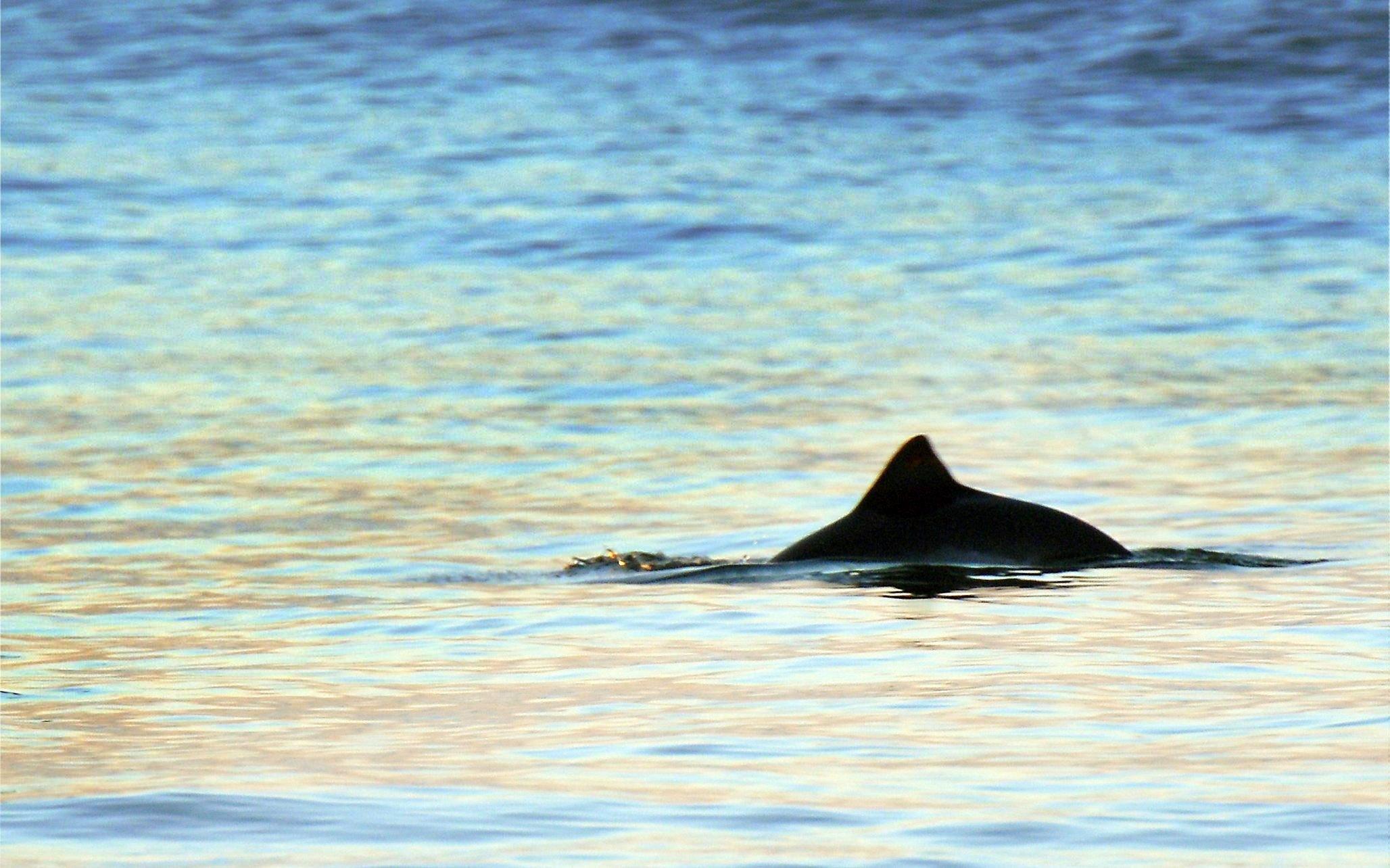 Die Finne eines auftauchenden Schweinswals im Abendlicht