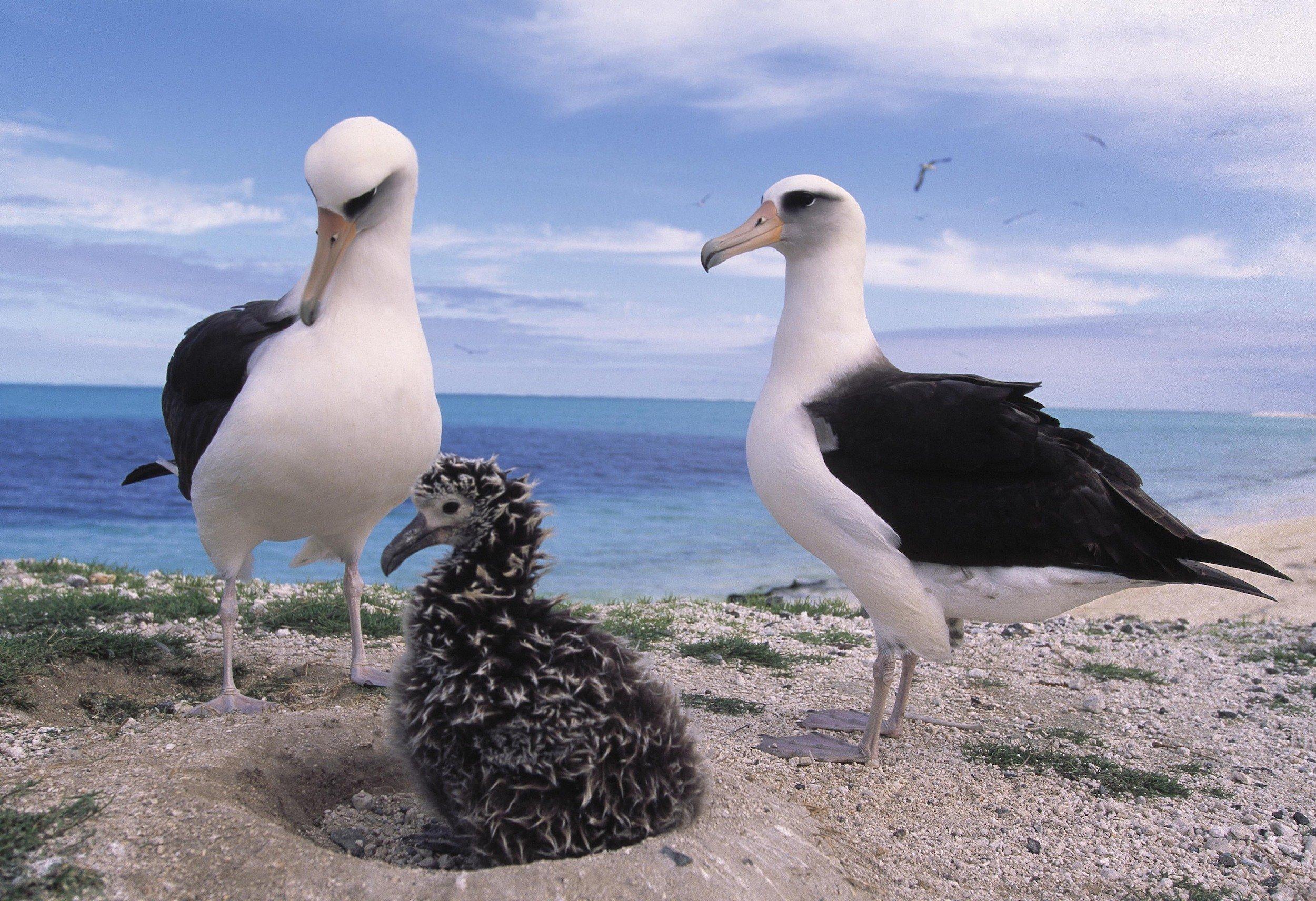 Foto zeigt eine Albatross.Familie auf Hawaii im Meeresschutzgebiet  Papah?naumoku?kea (ausgesprochen: Papa-ha-now-moh-koo-ah-kay-ah
