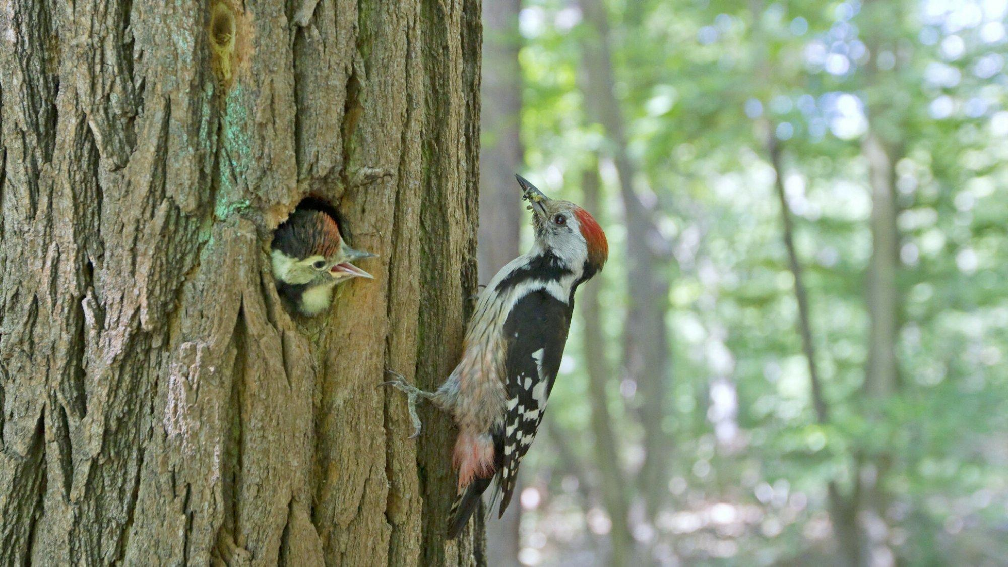 Ein Mittelspecht bringt Futter zu seiner NIsthöhle, aus der ein Jungtier schaut.