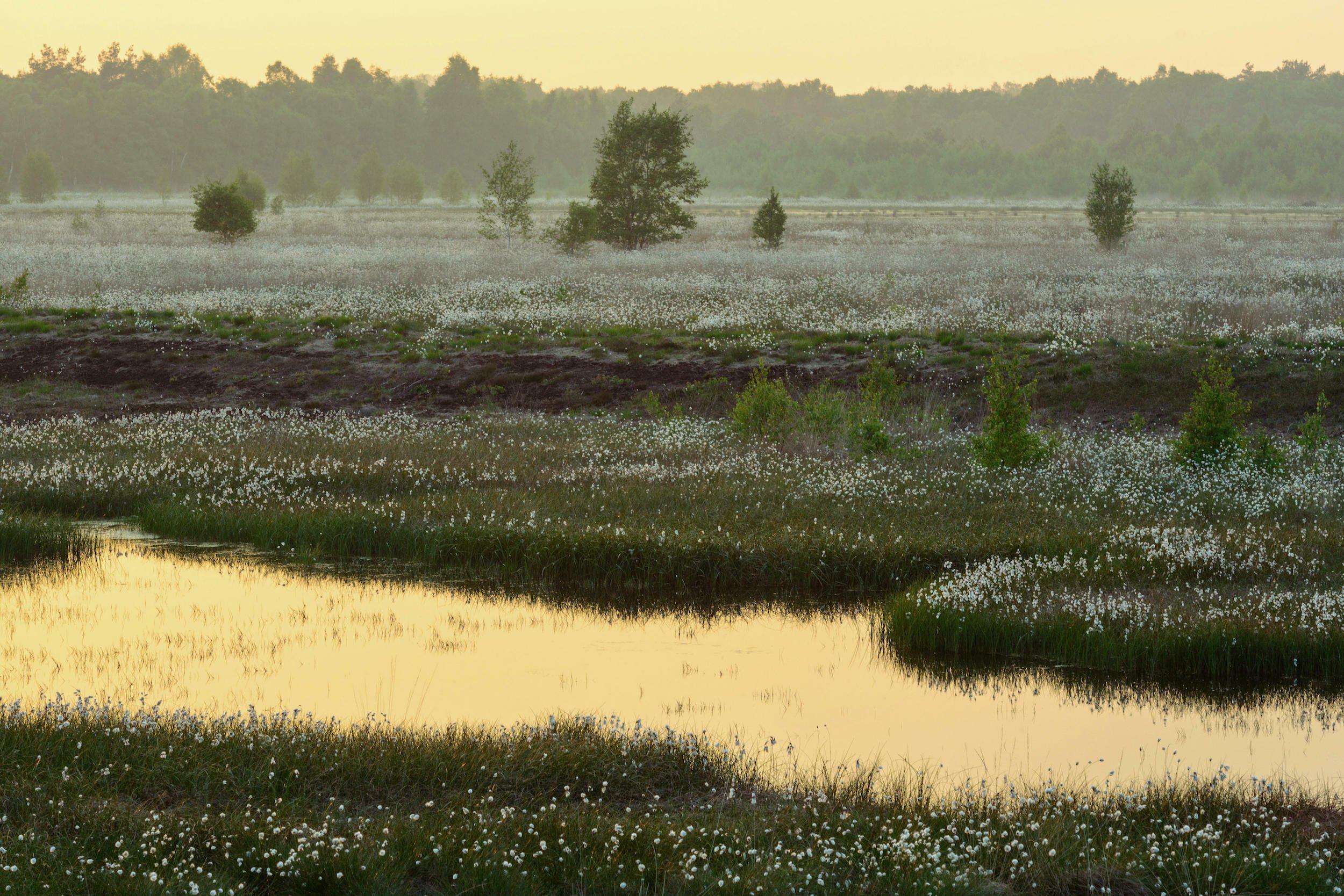 Moorlandschaft mit Wasserflächen und weißen Wollgrasbüscheln