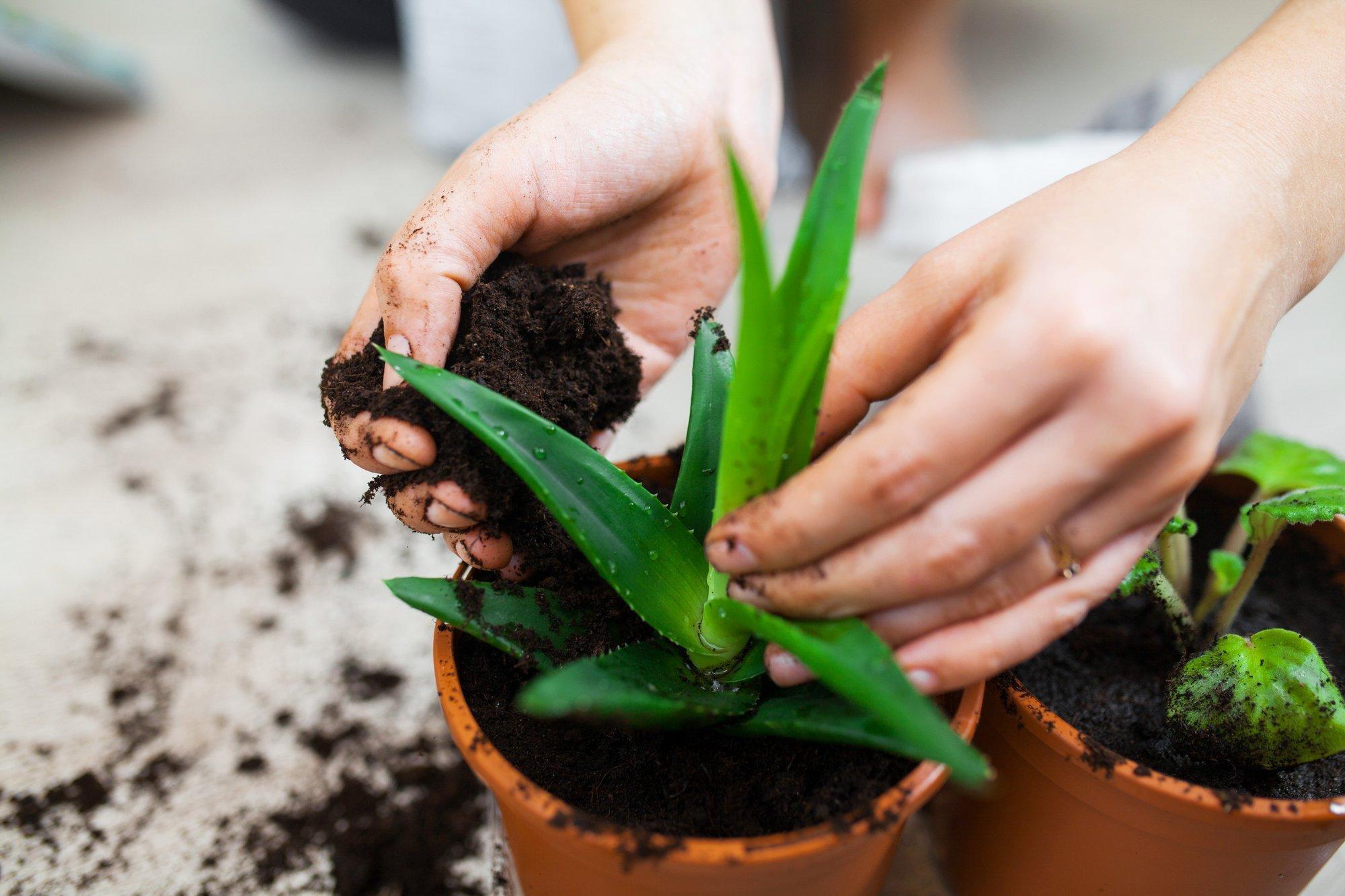 Frauenhände bei der Gartenarbeit, die Frau steckt eine Pflanze in einen Blumentopf.